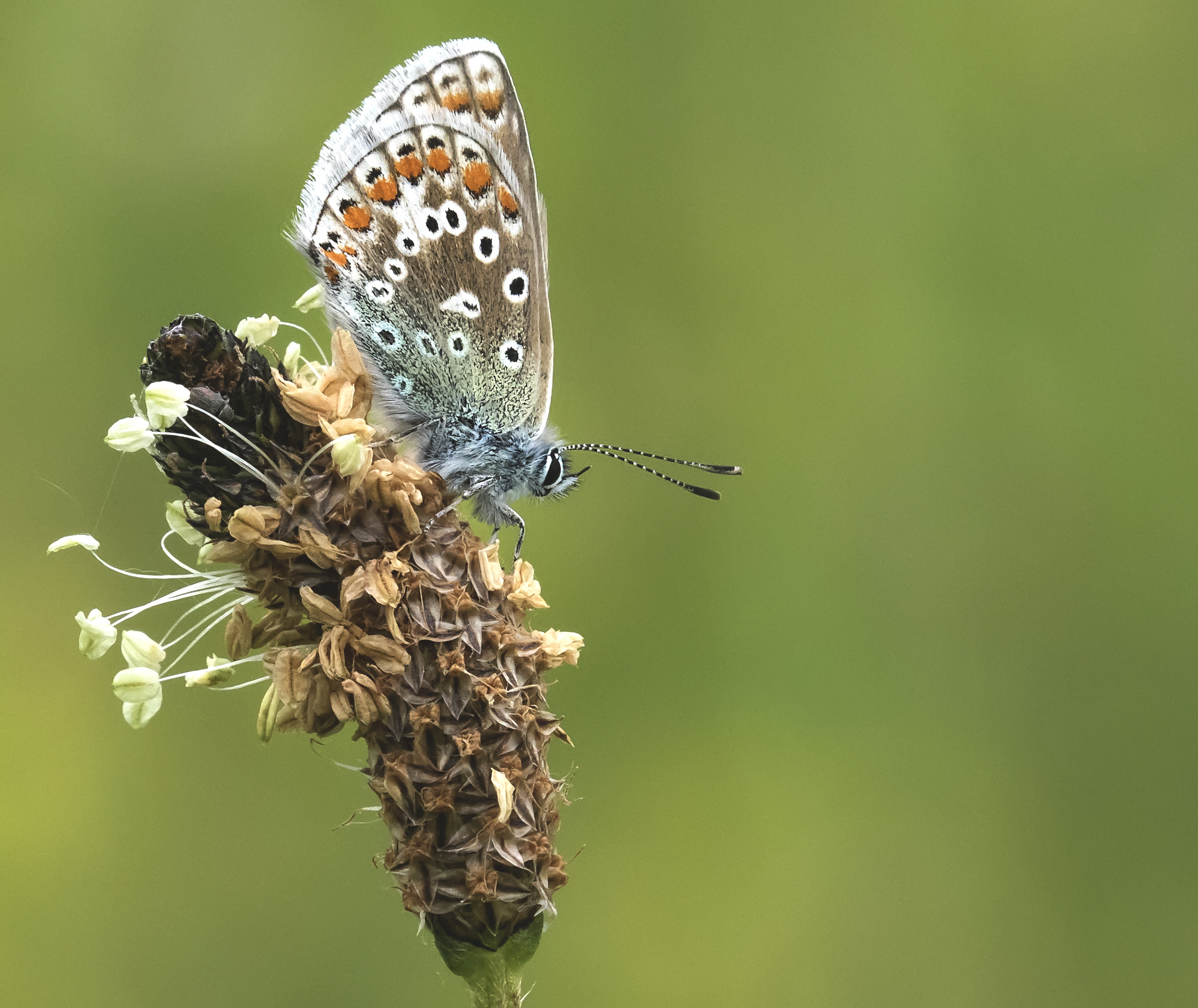Common Blue 5th June.jpg