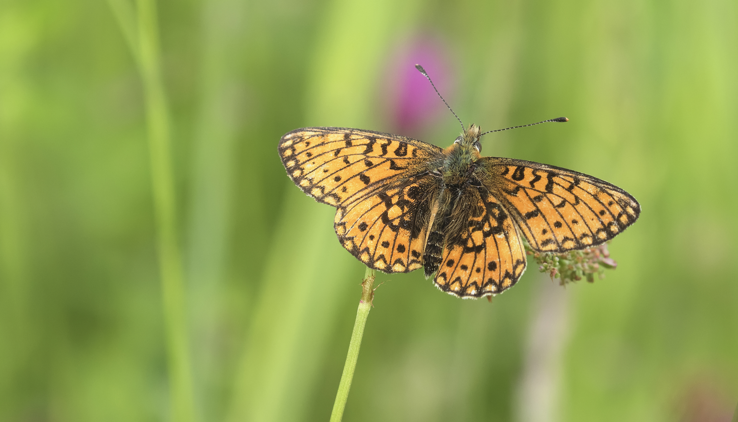 Small Pearl Bordered Fritillary Scene 16th June.jpg