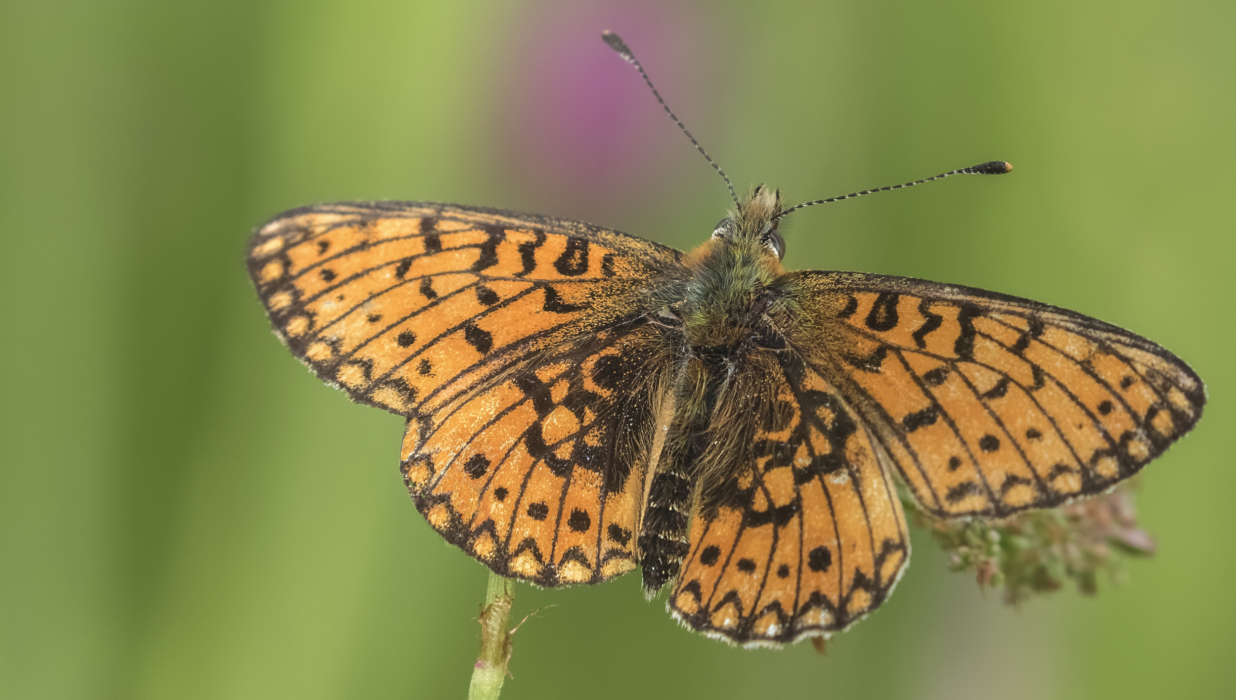 Small Pearl Bordered Fritillary Full 16th June.jpg