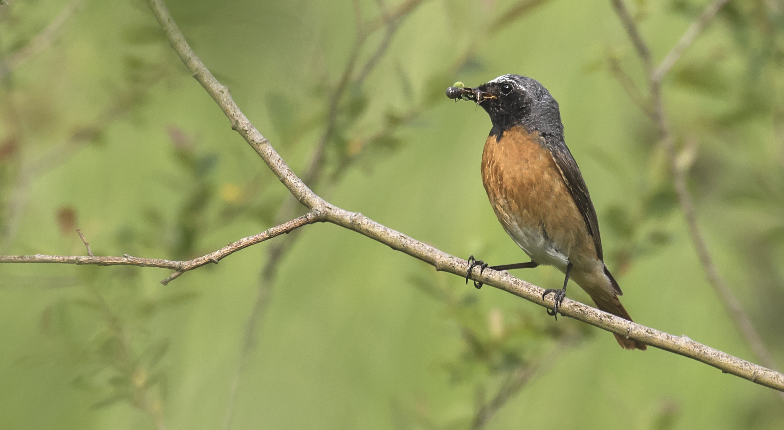 Redstart 16th June.jpg