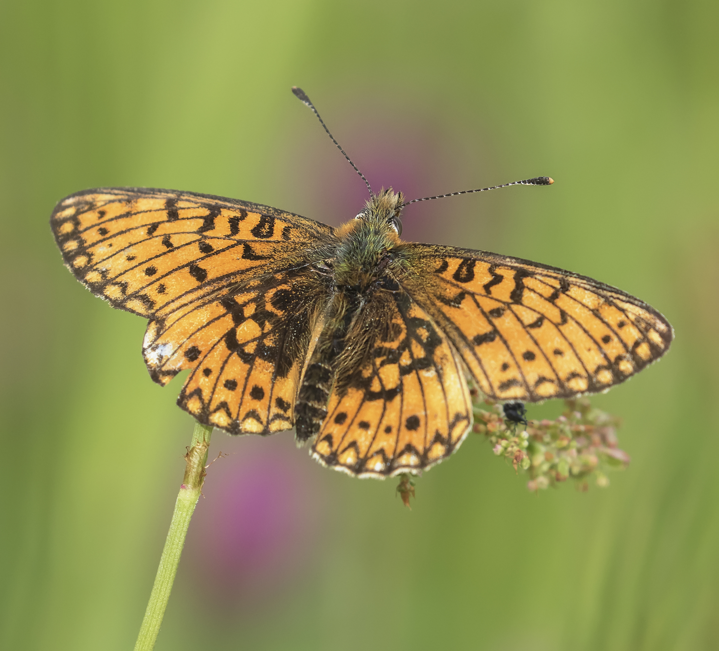 Small Pearl Bordered Fritillary 16th June.jpg