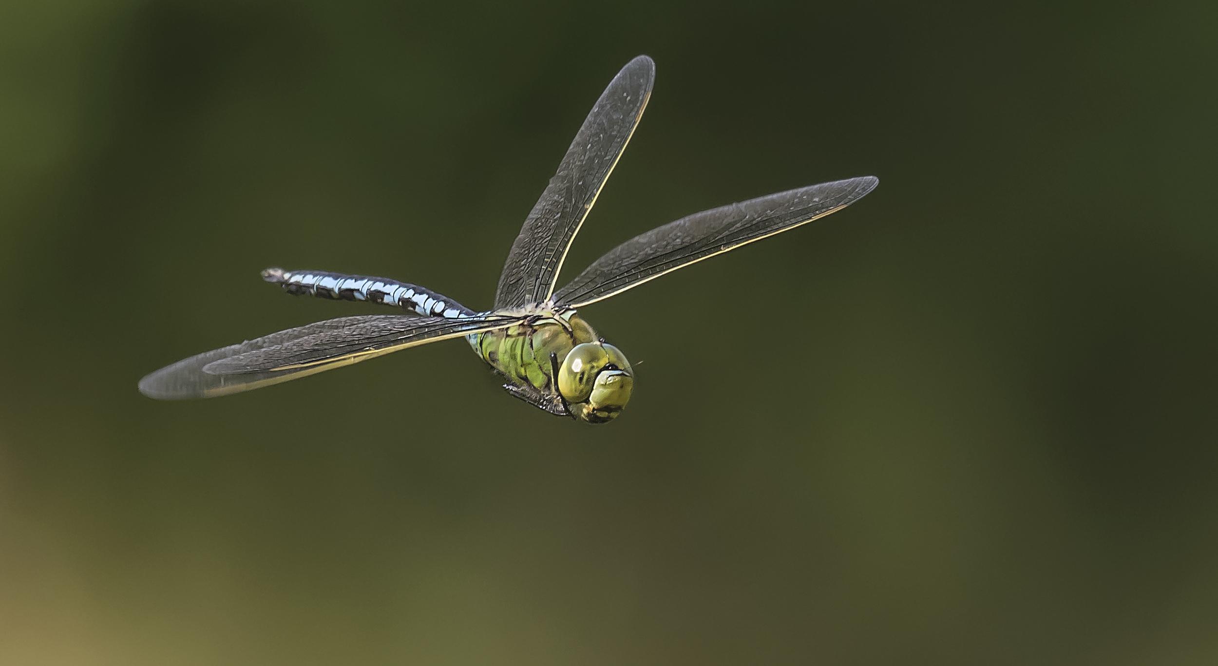 Emperor Dragonfly Side Bank 21st June.jpg