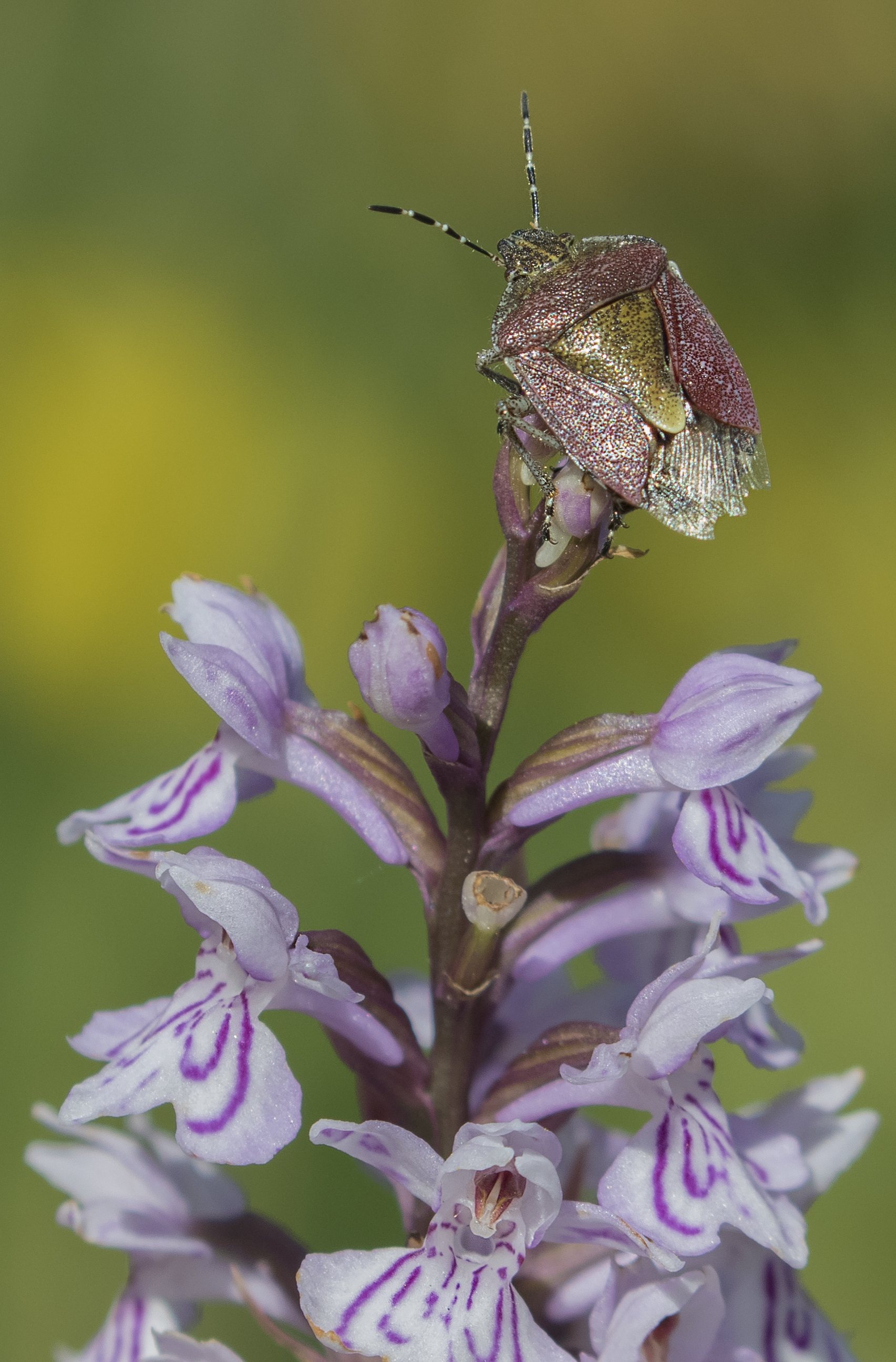 Shieldbug Spotted Orchid 22nd June.jpg