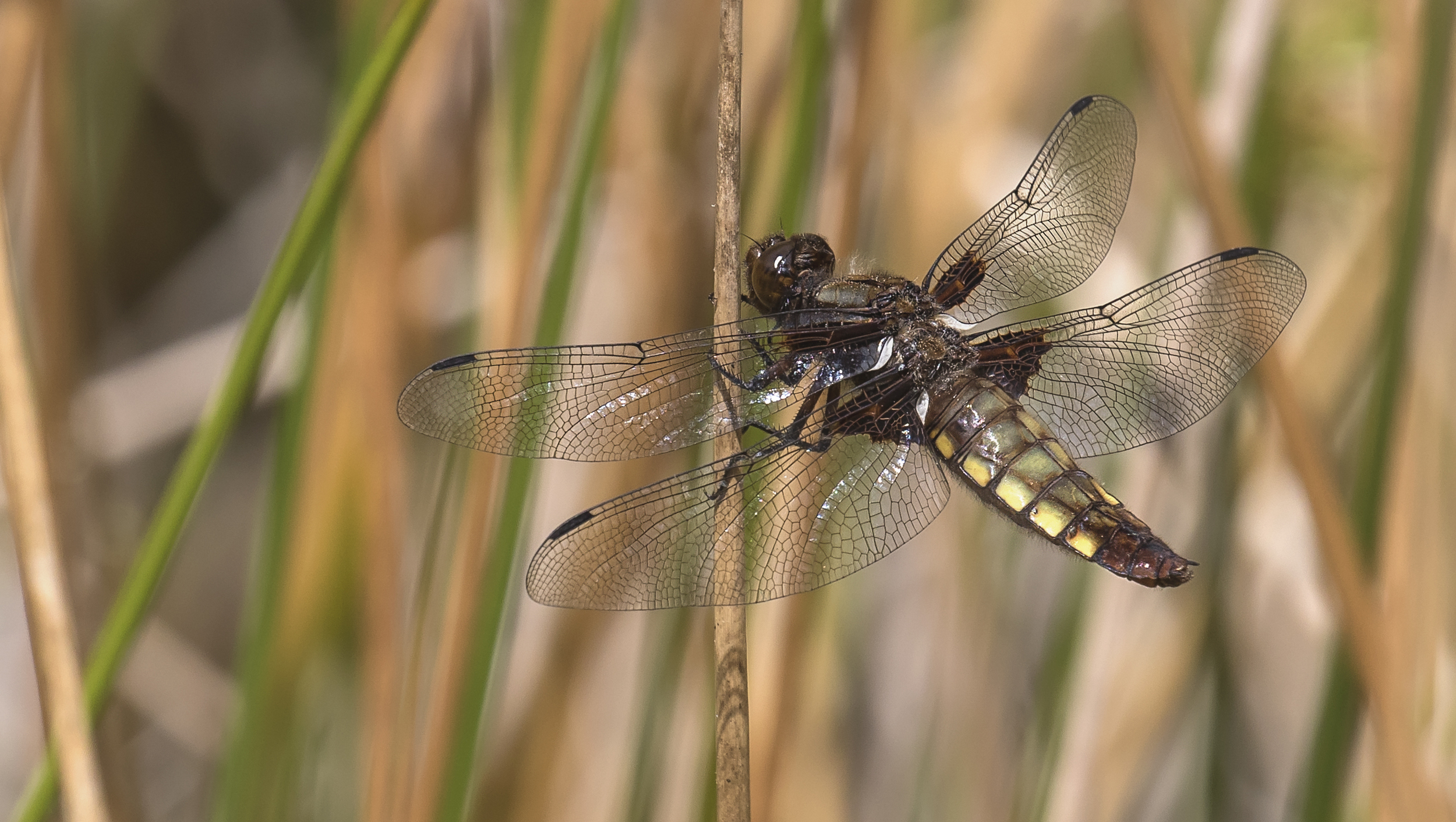 Female Broad Bodied Chaser 27th June.jpg