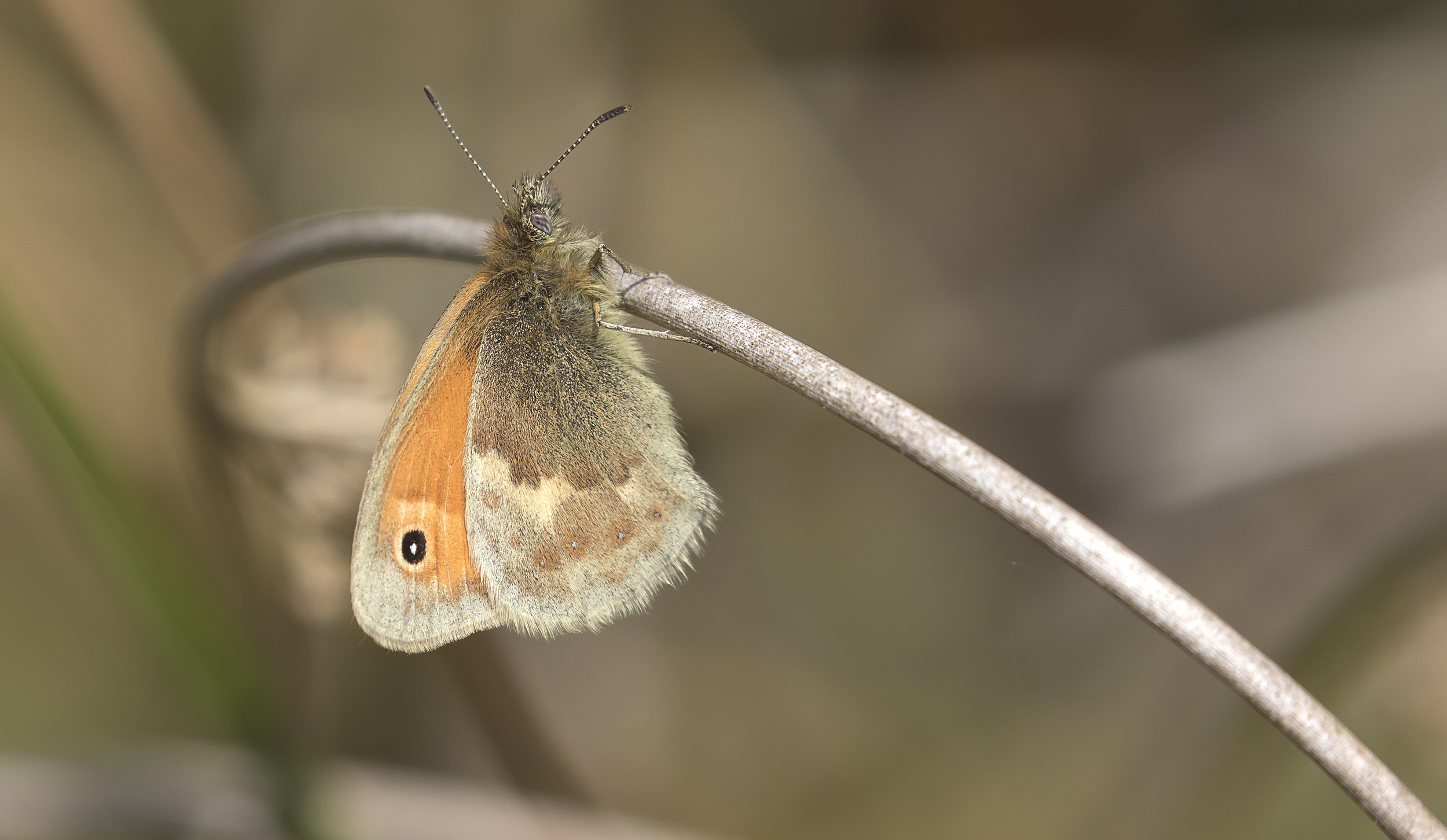 Small Heath Butterfly 27th June.jpg