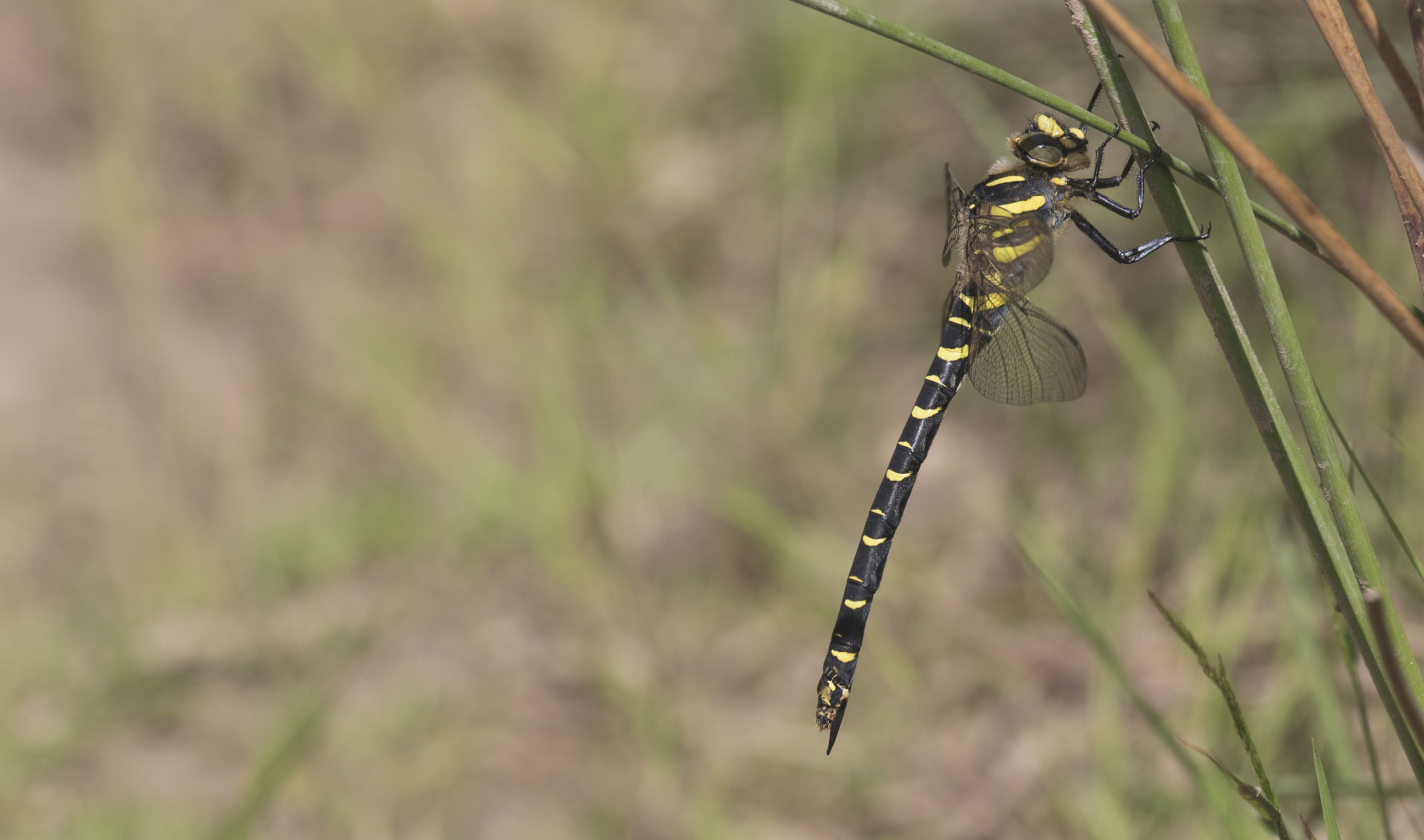 Golden-ringed Dragonfly 27th June.jpg