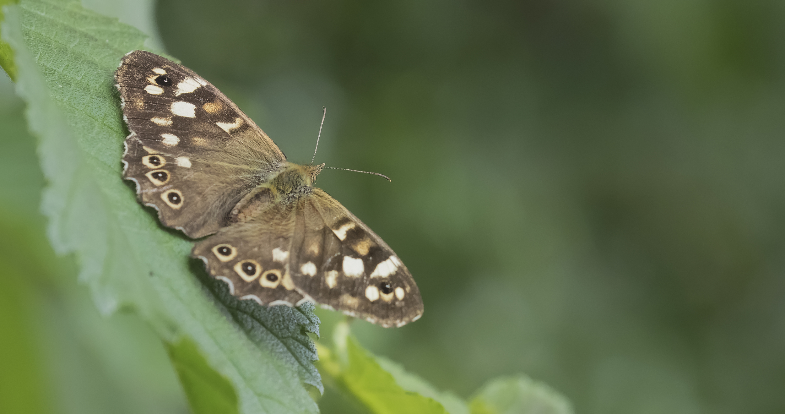 Speckled Wood 3rd July.jpg
