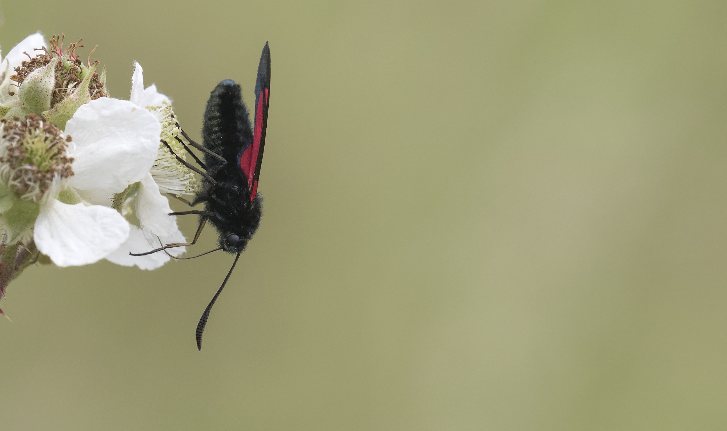 5-spot Burnet Moth 3rd July.jpg
