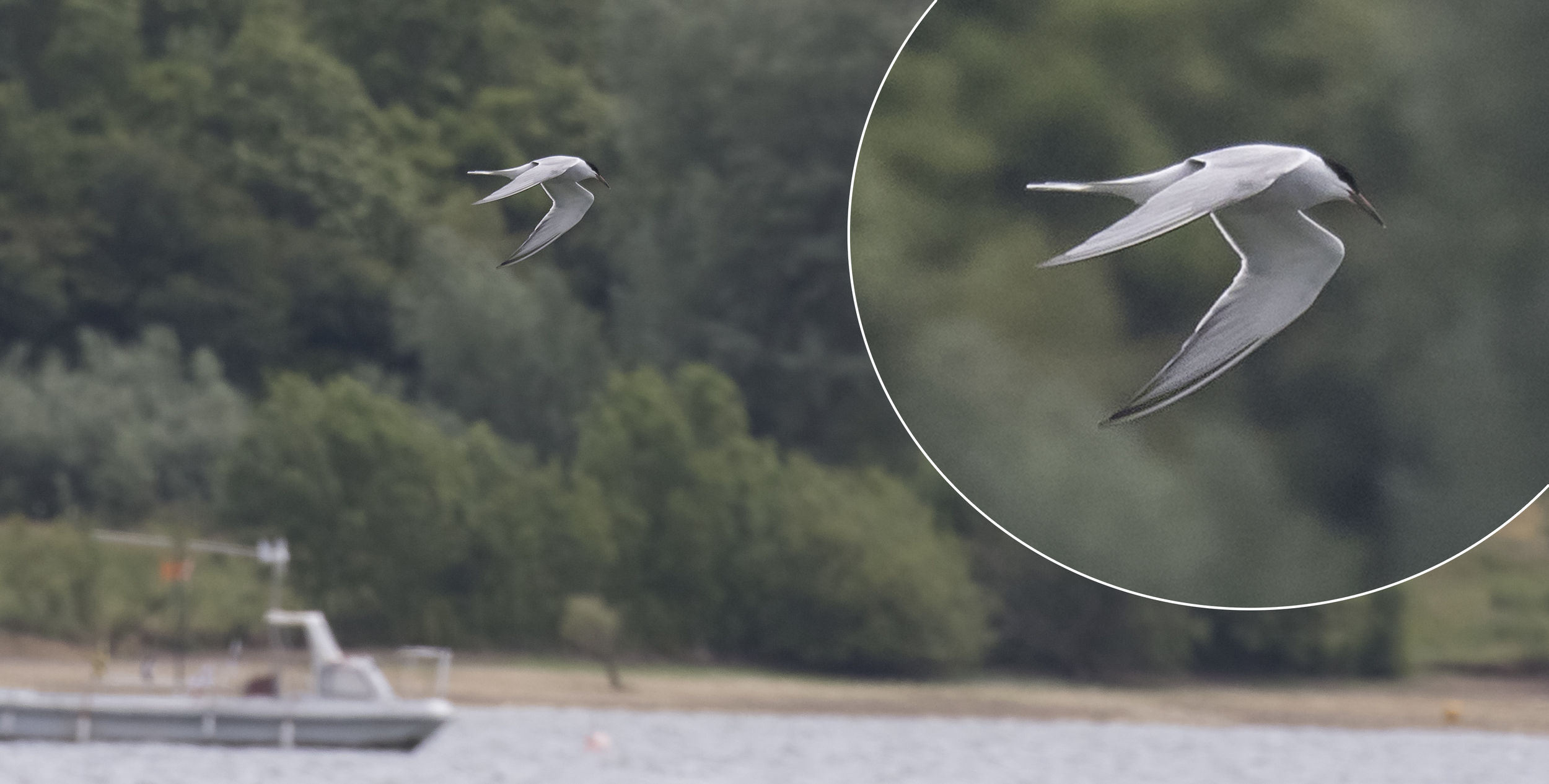 Tern Close Up 4th July.jpg