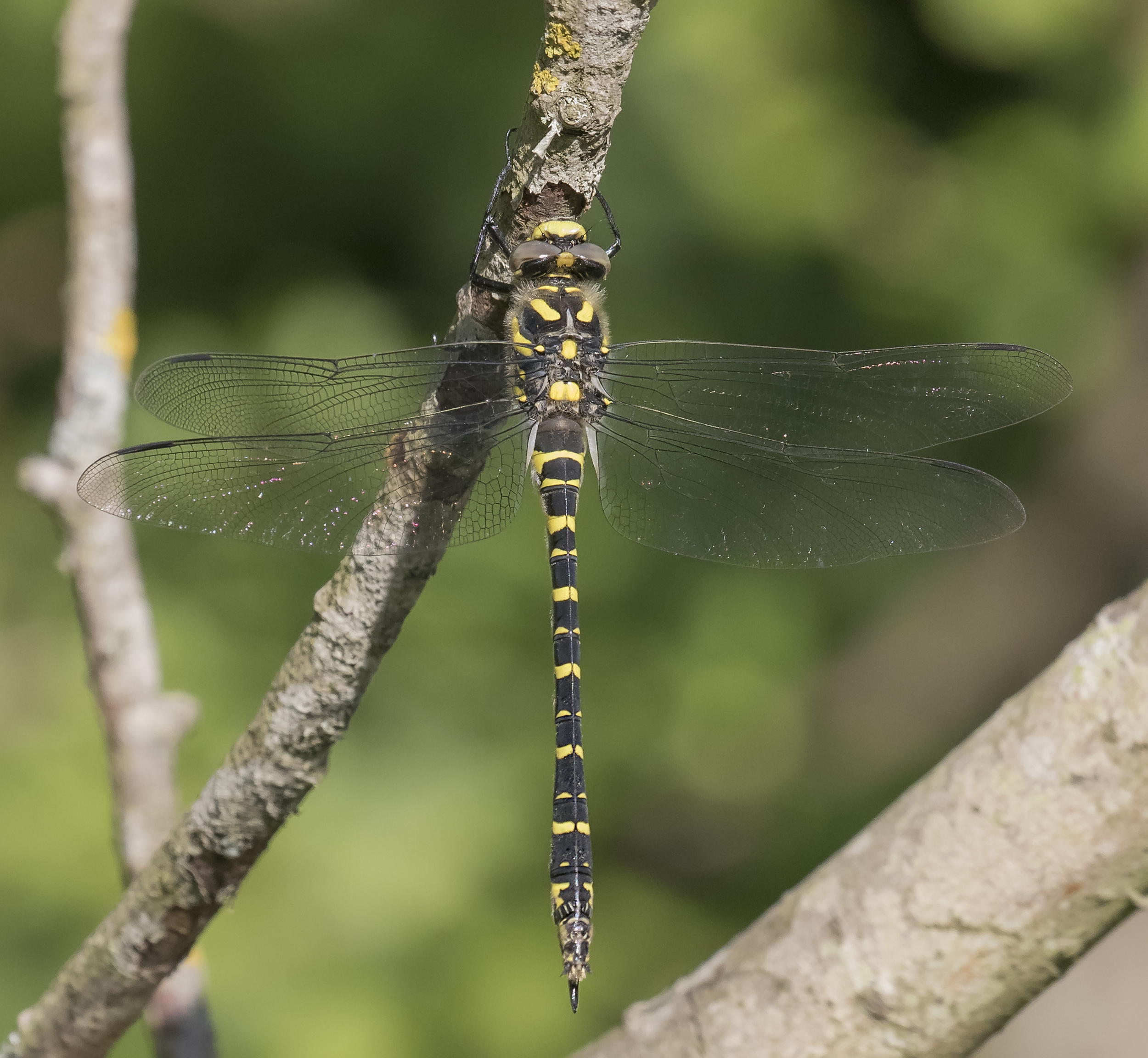 Golden Ringed Dragonfly 4th July.jpg