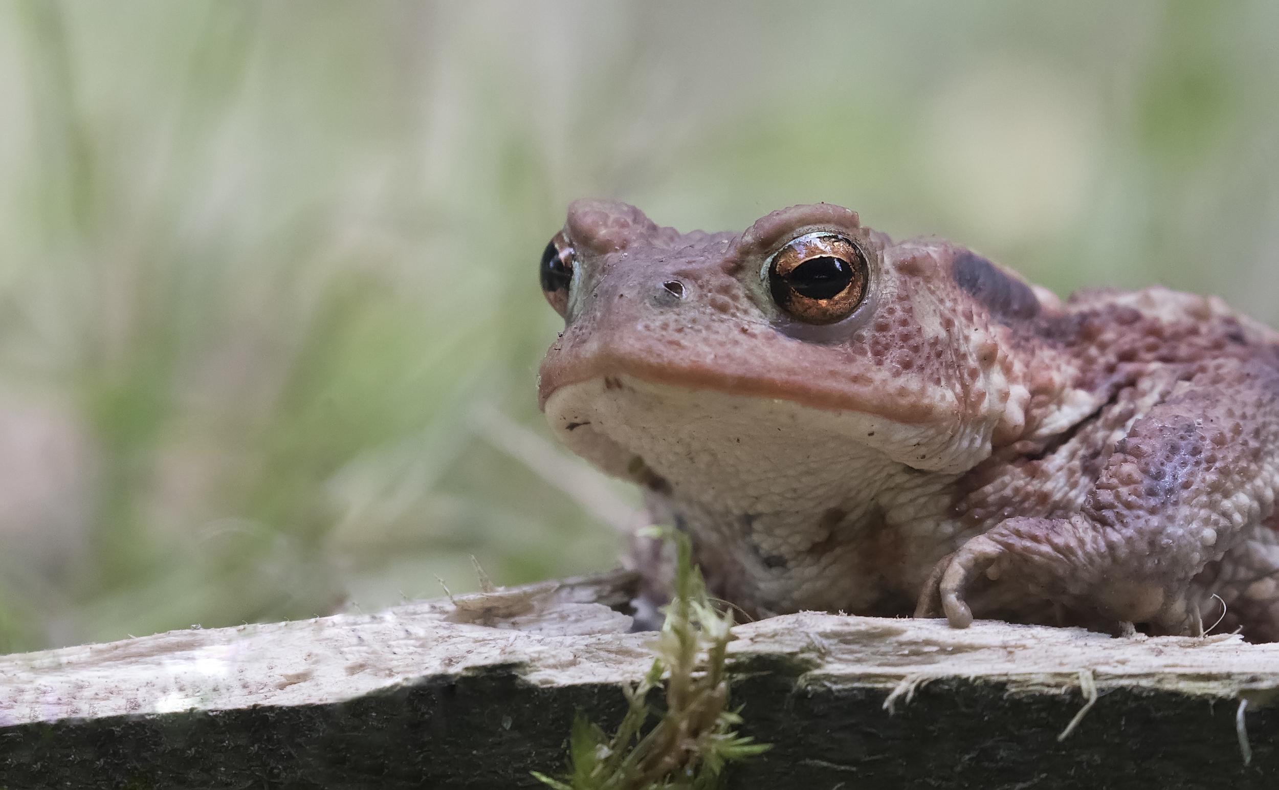 Toad Llandegfedd 4th July.jpg