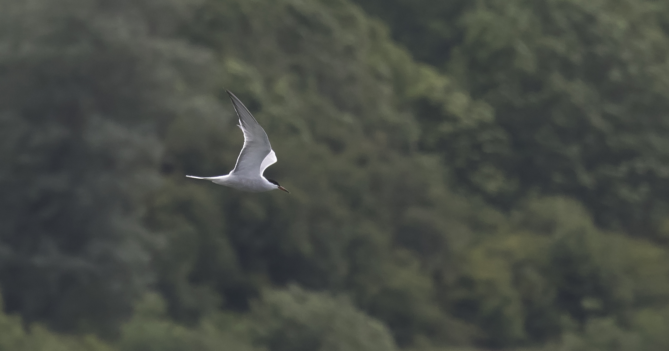 Artic Tern 4th July.jpg