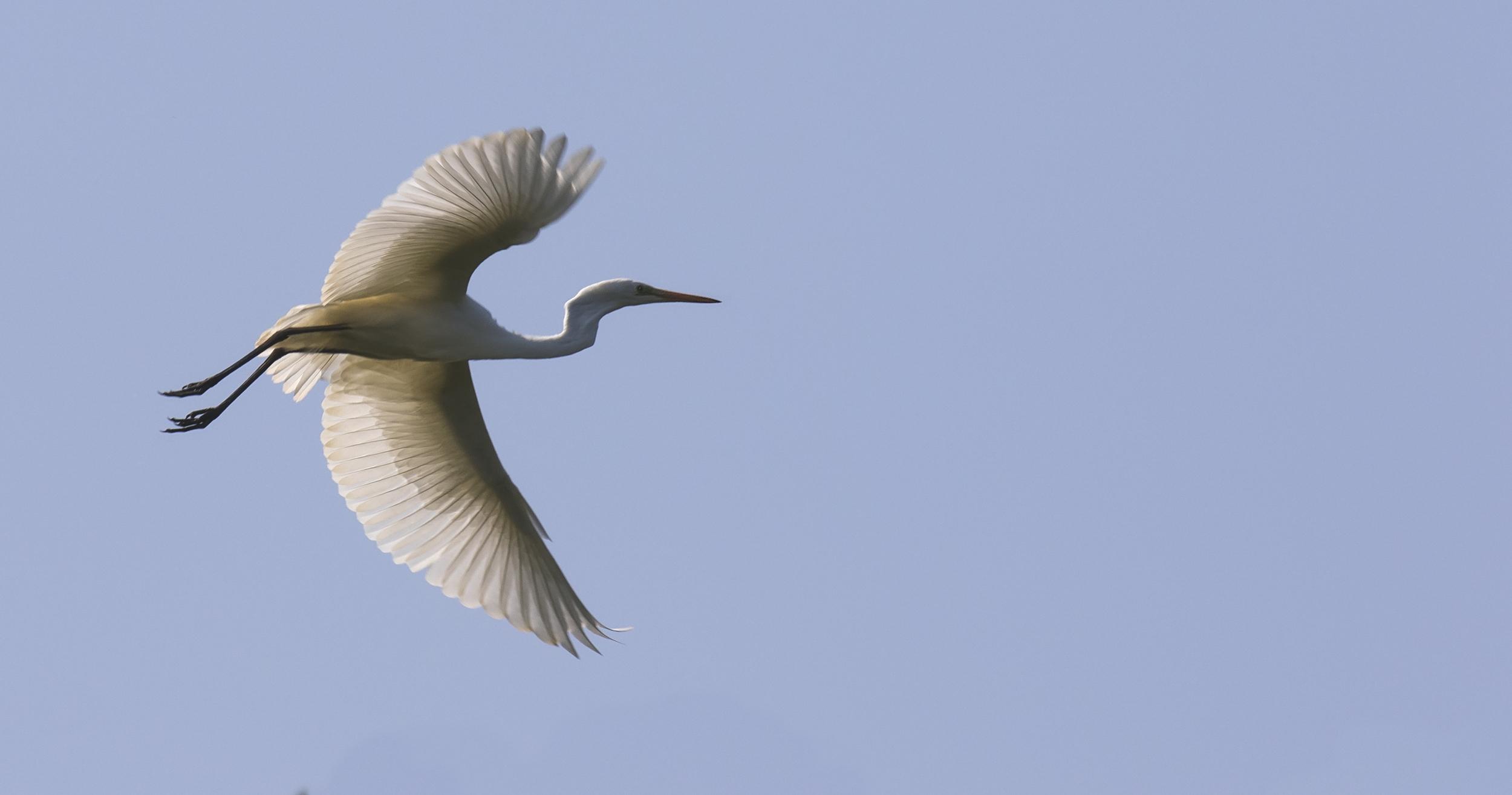 Great White Egret 6th July.jpg