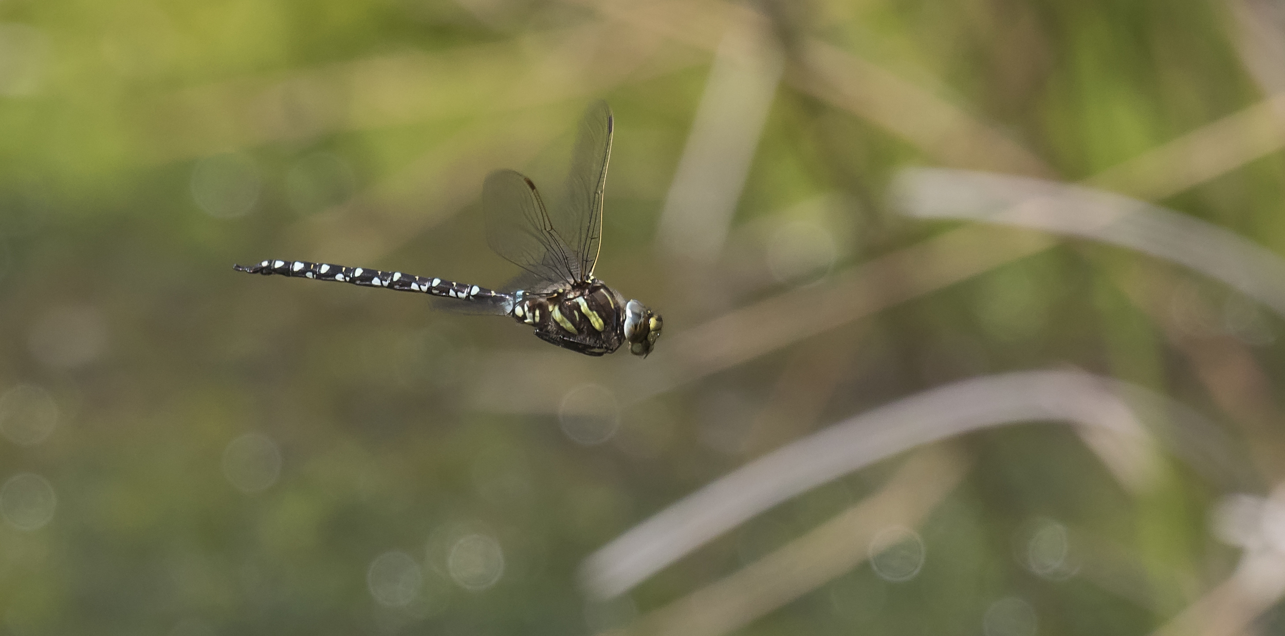 Common Hawker 10th July.jpg