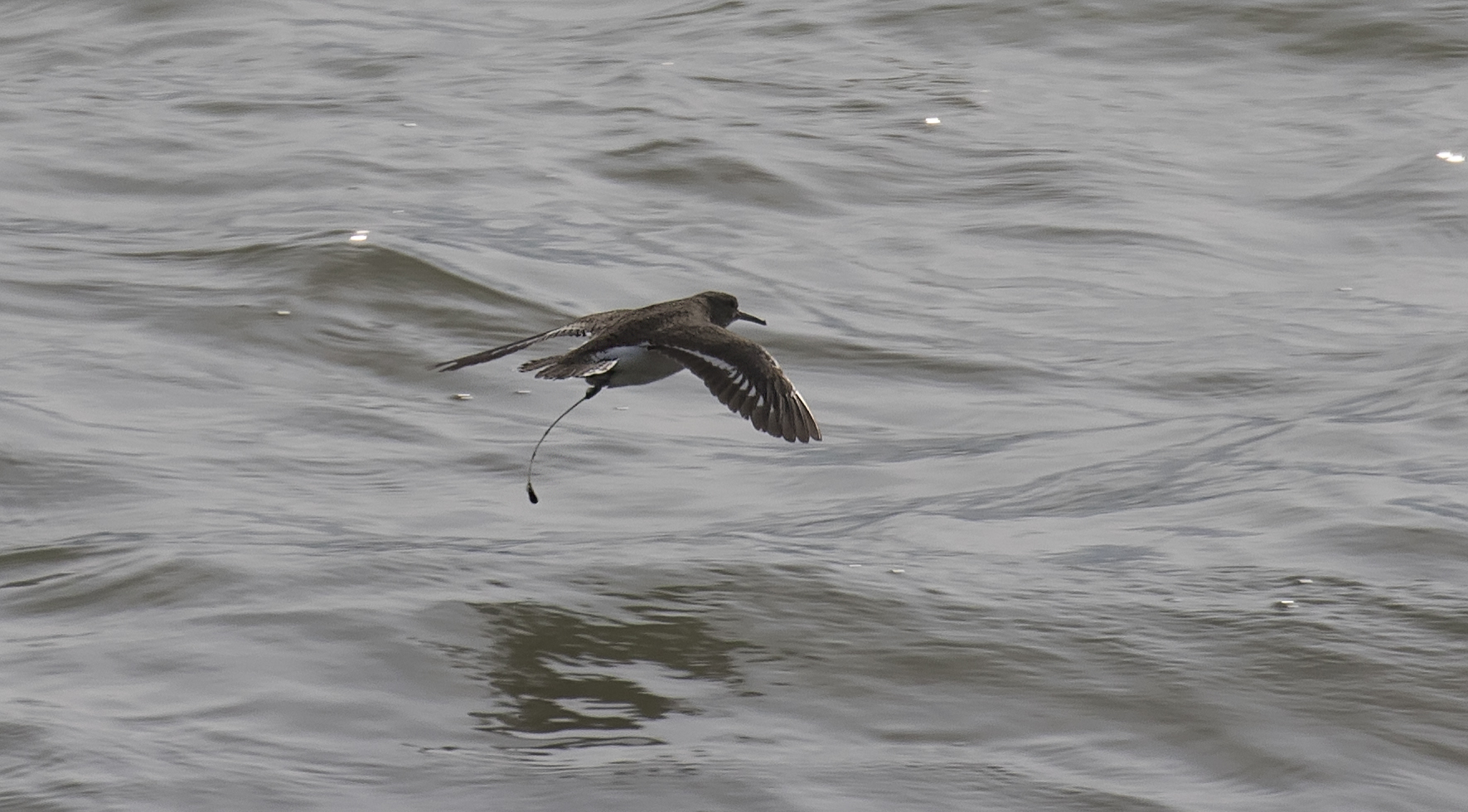 Common Sandpiper Fishing Tackle 12th July.jpg