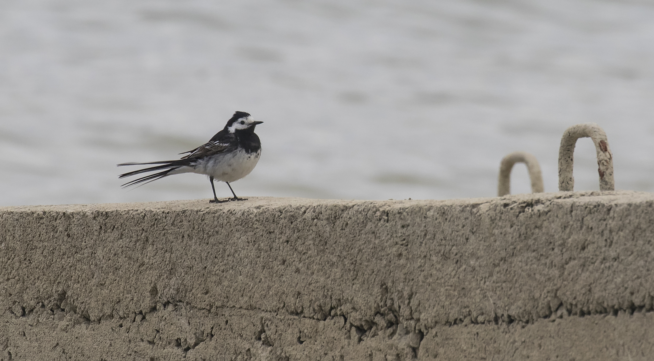 Pied Wagtail 12th July.jpg