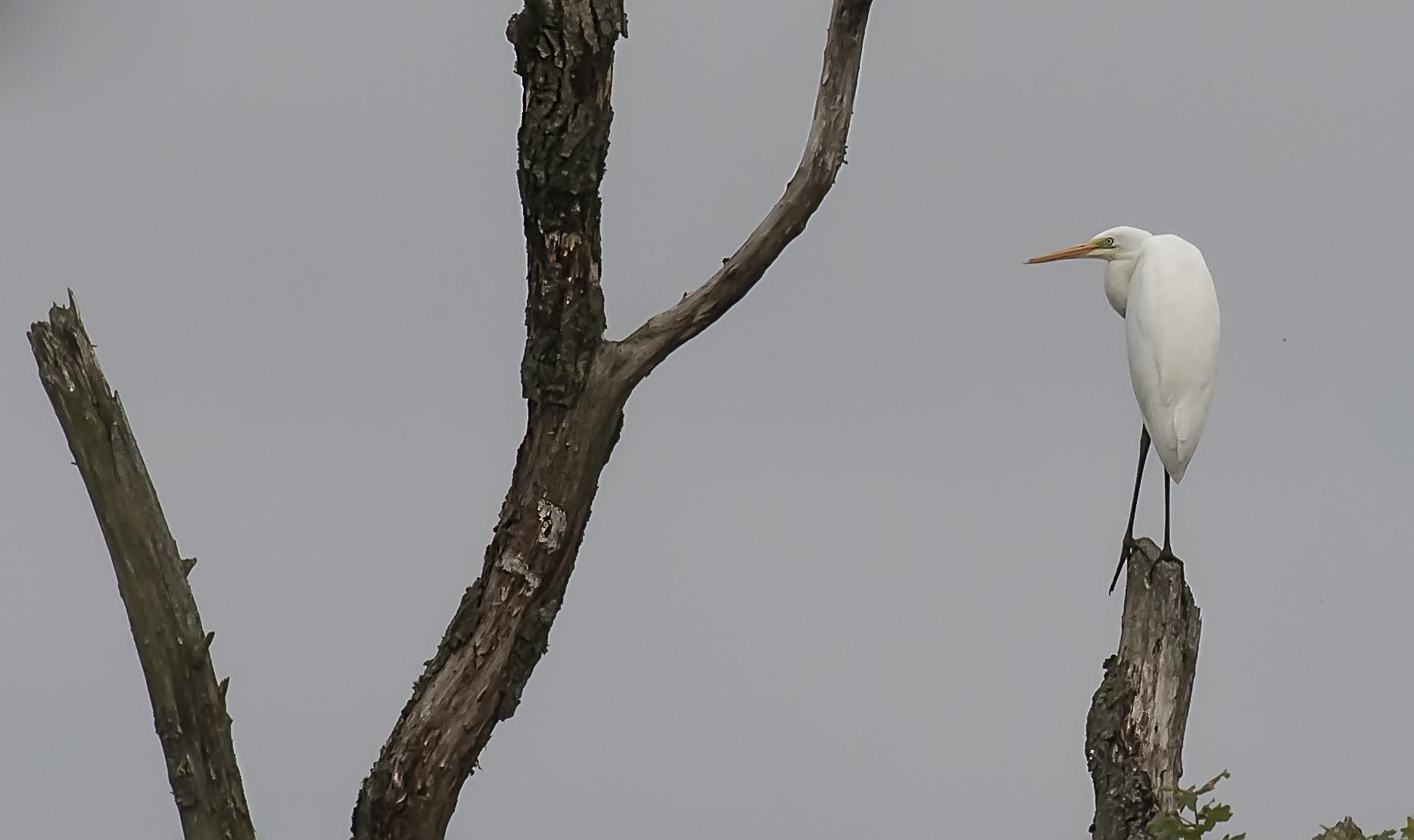Great White Egret 12th July.jpg