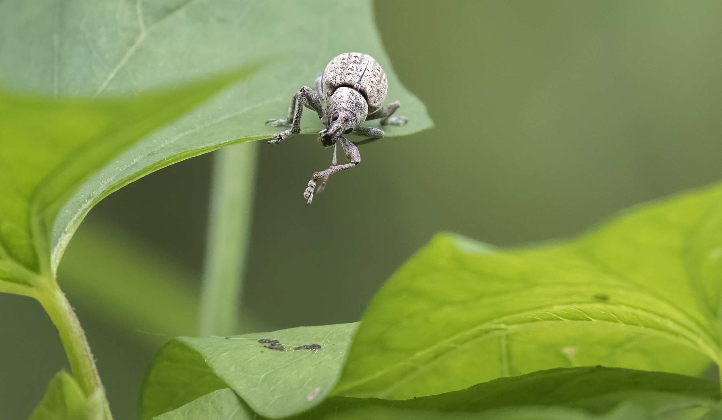 Small Weevil 2 12th July.jpg