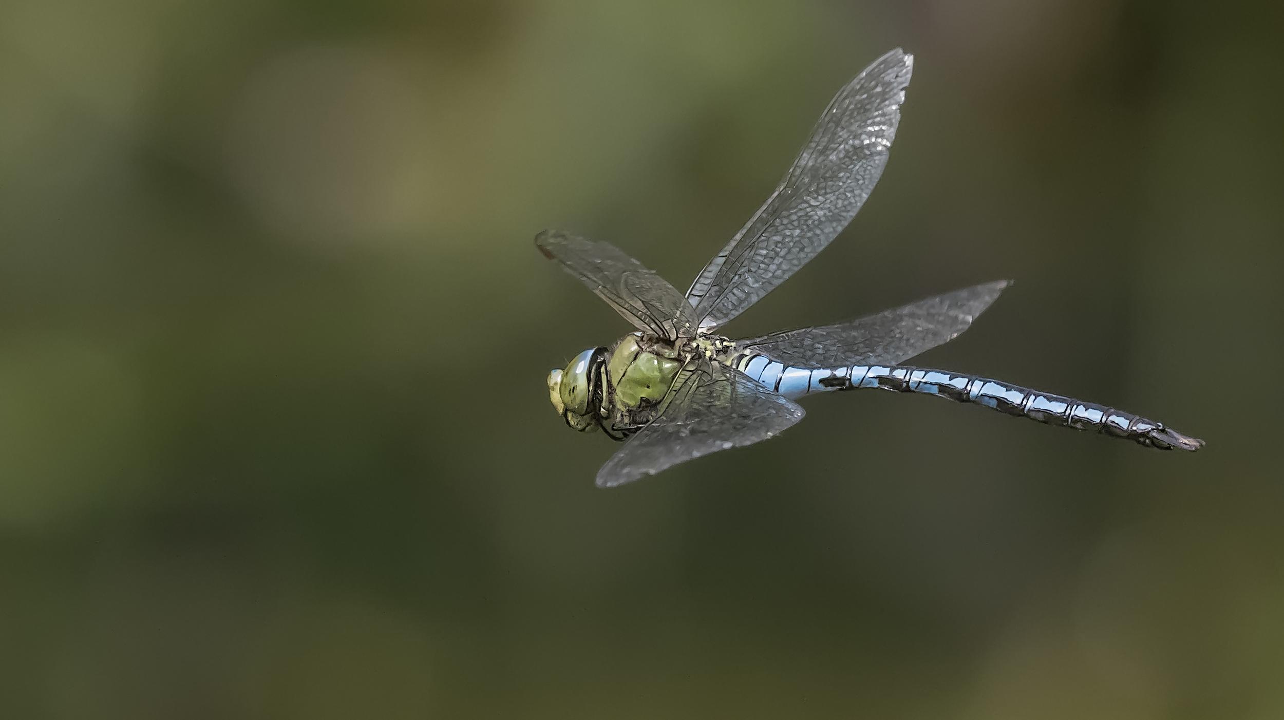 Emperor Dragonfly Green 17th July.jpg