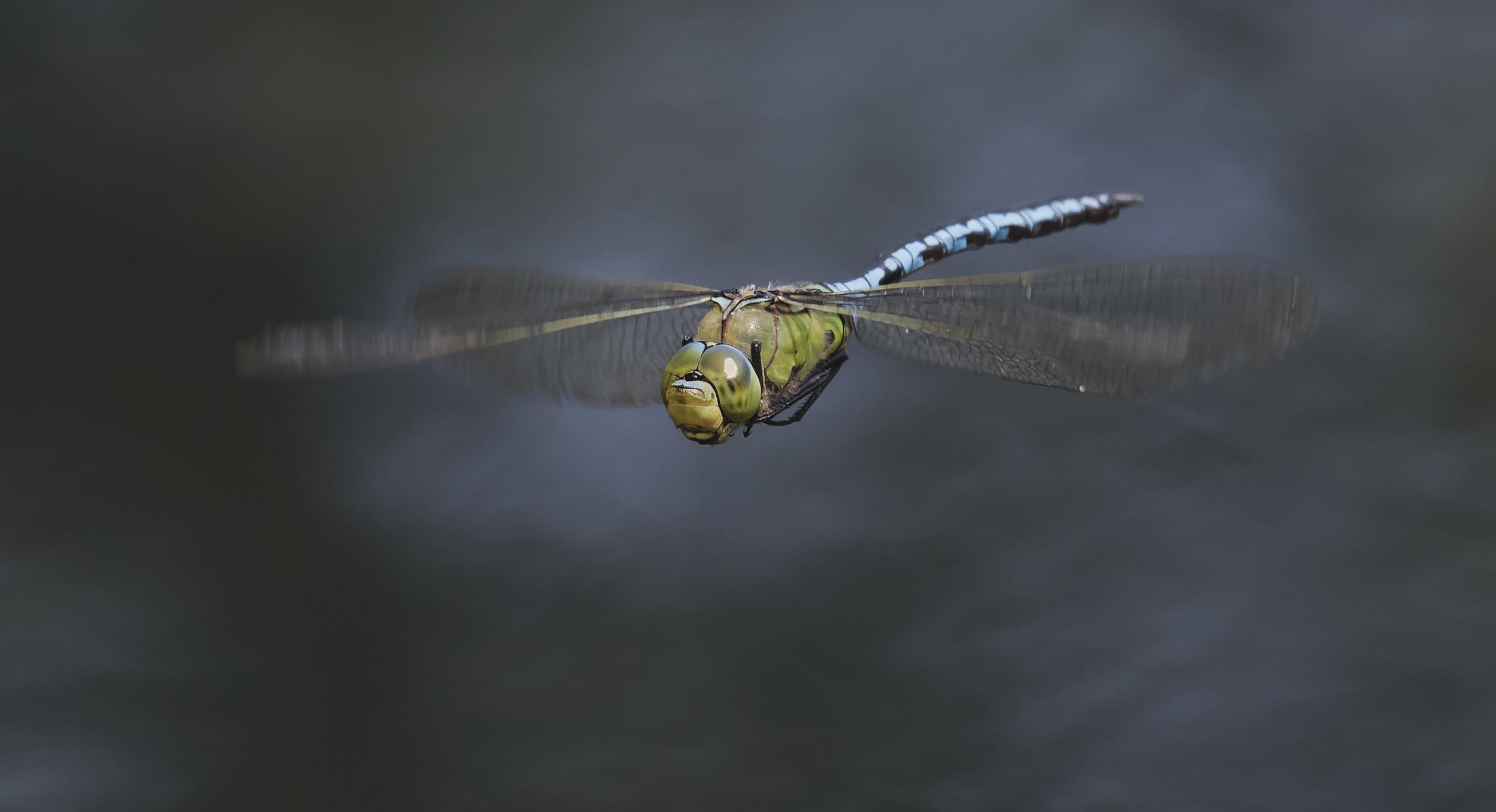 Emperor Dragonfly Dark 17th July.jpg