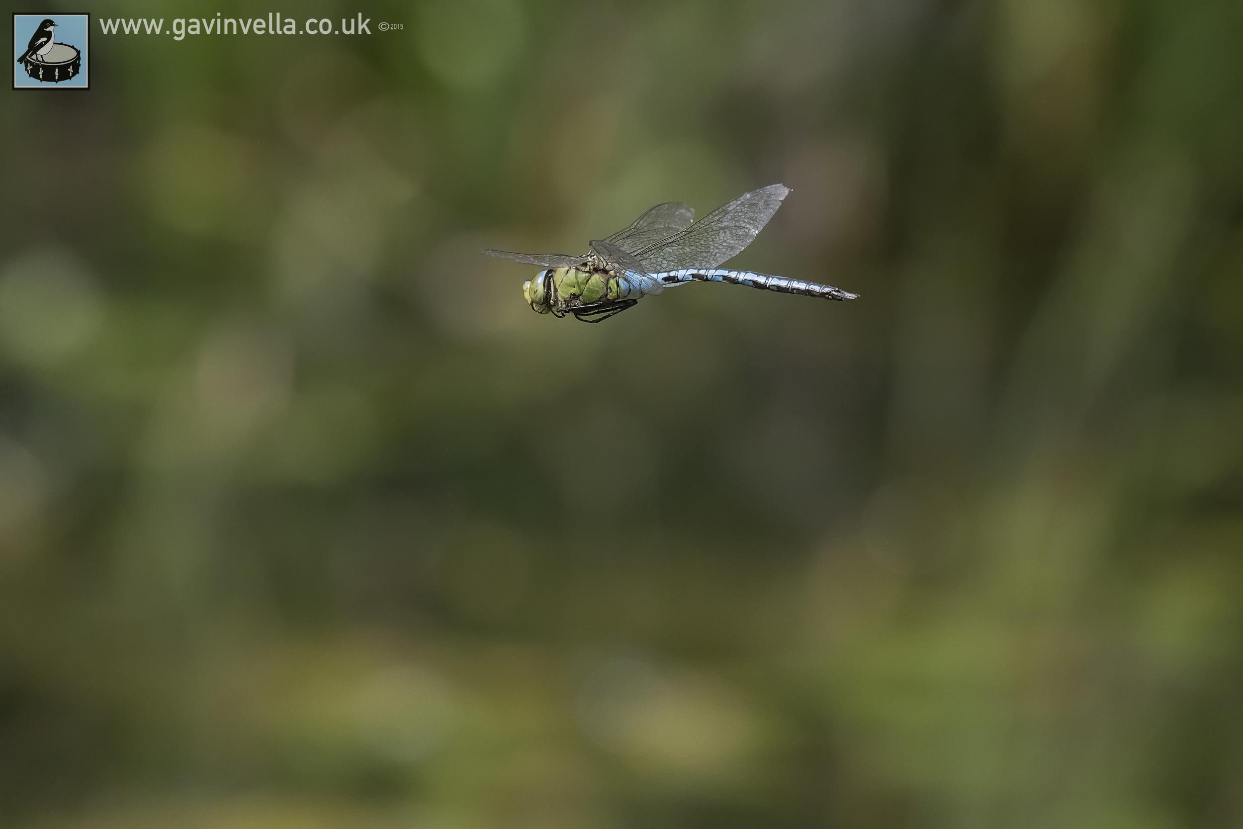 Emperor Dragonfly Full Frame 17th July copy.jpg