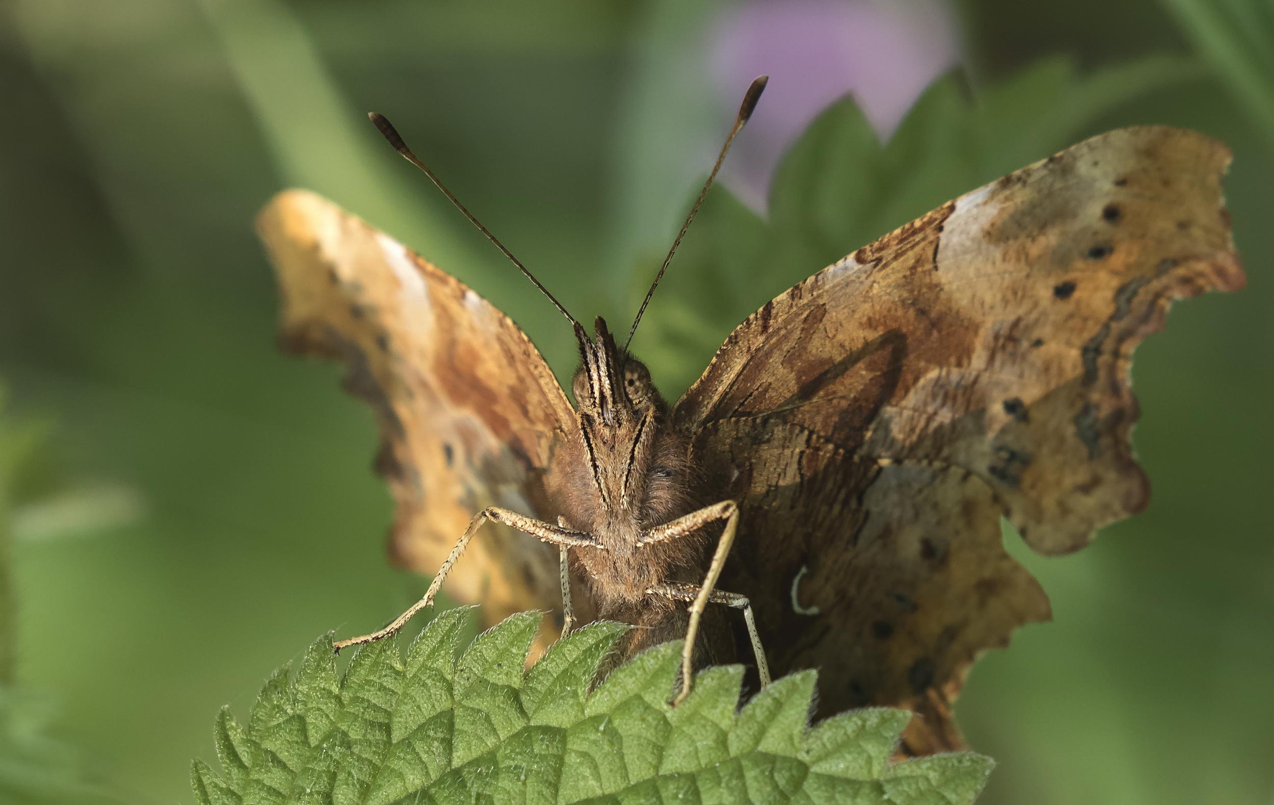 Comma Butterfly 17th July.jpg