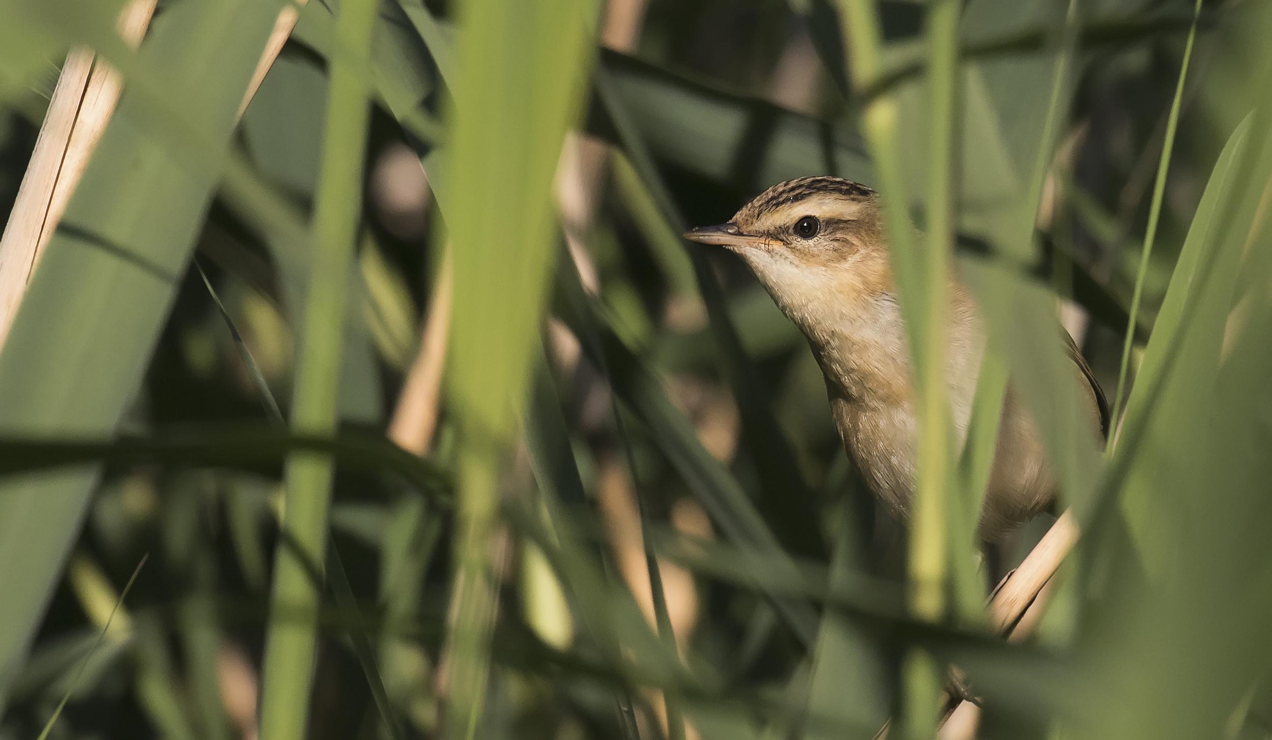 Sedge Warbler Peeking 19th July.jpg