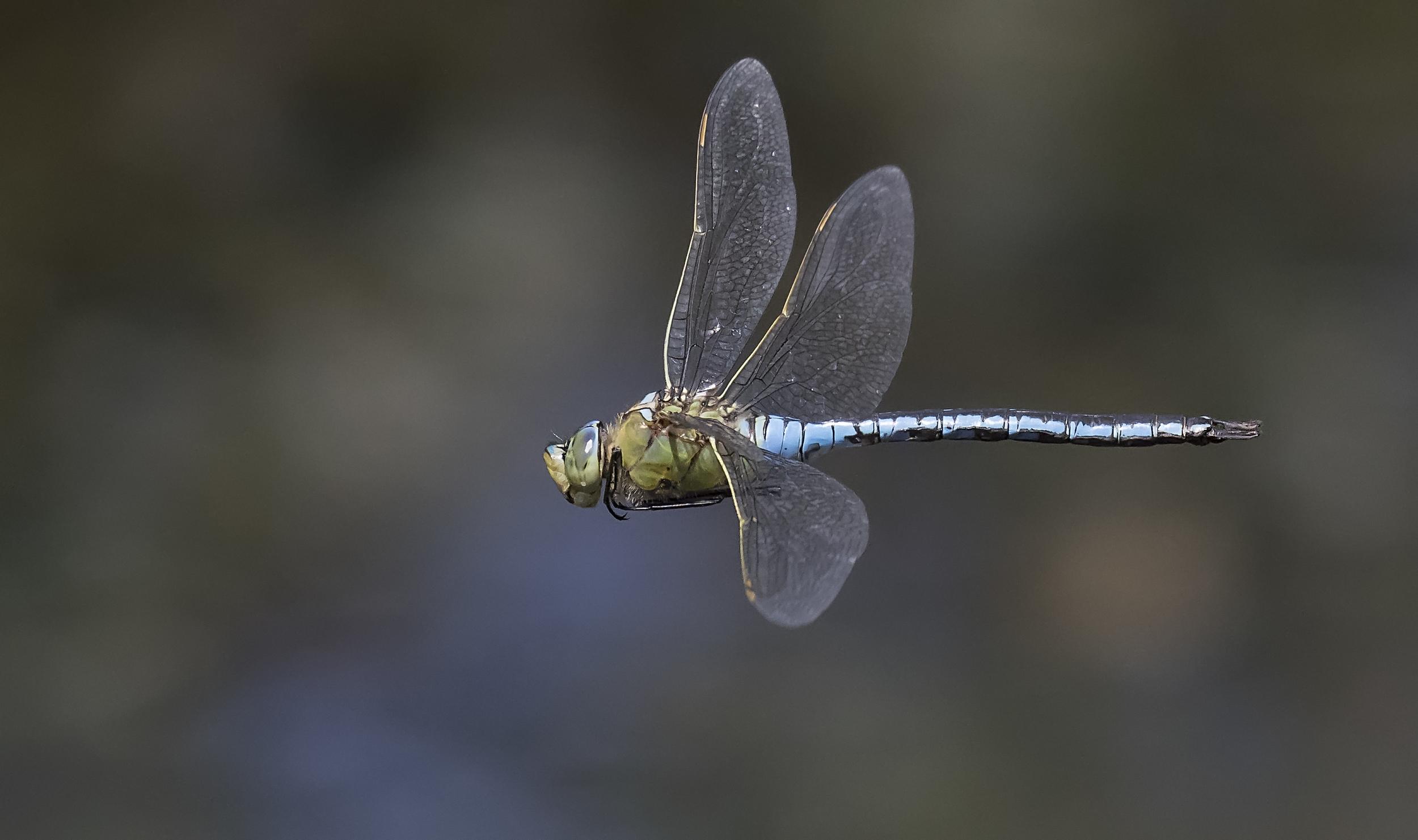Emperor Dragonfly BOTD 19th July.jpg