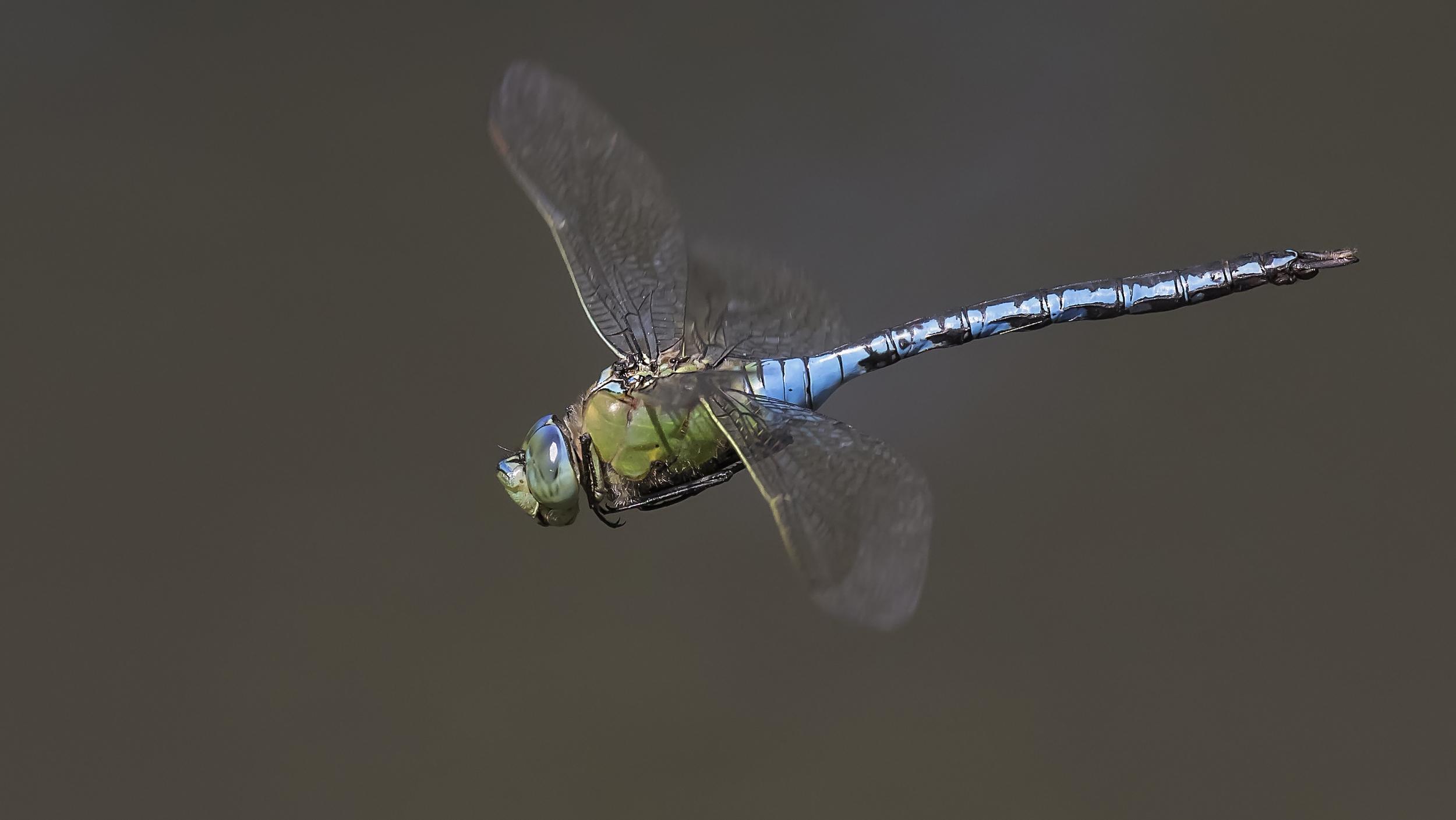 Emperor Dragonfly Flight Close 19th July.jpg