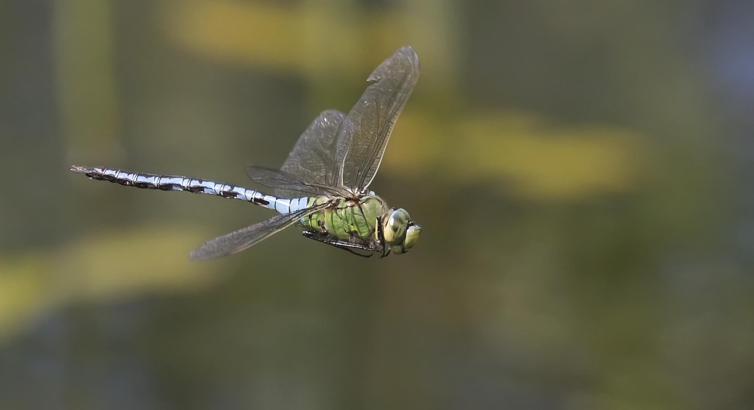 Emperor Dragonfly 25th July.jpg