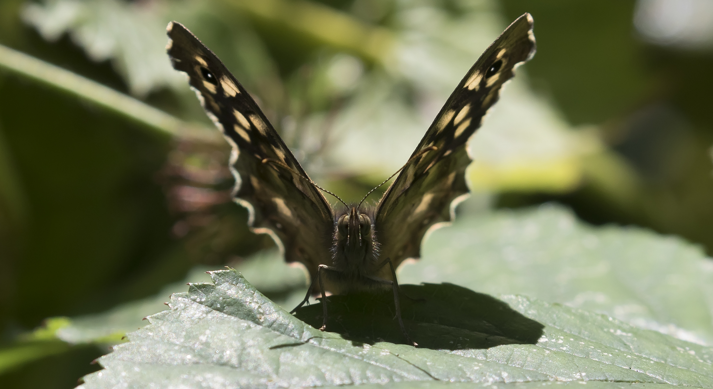 Speckled Wood 25th July.jpg