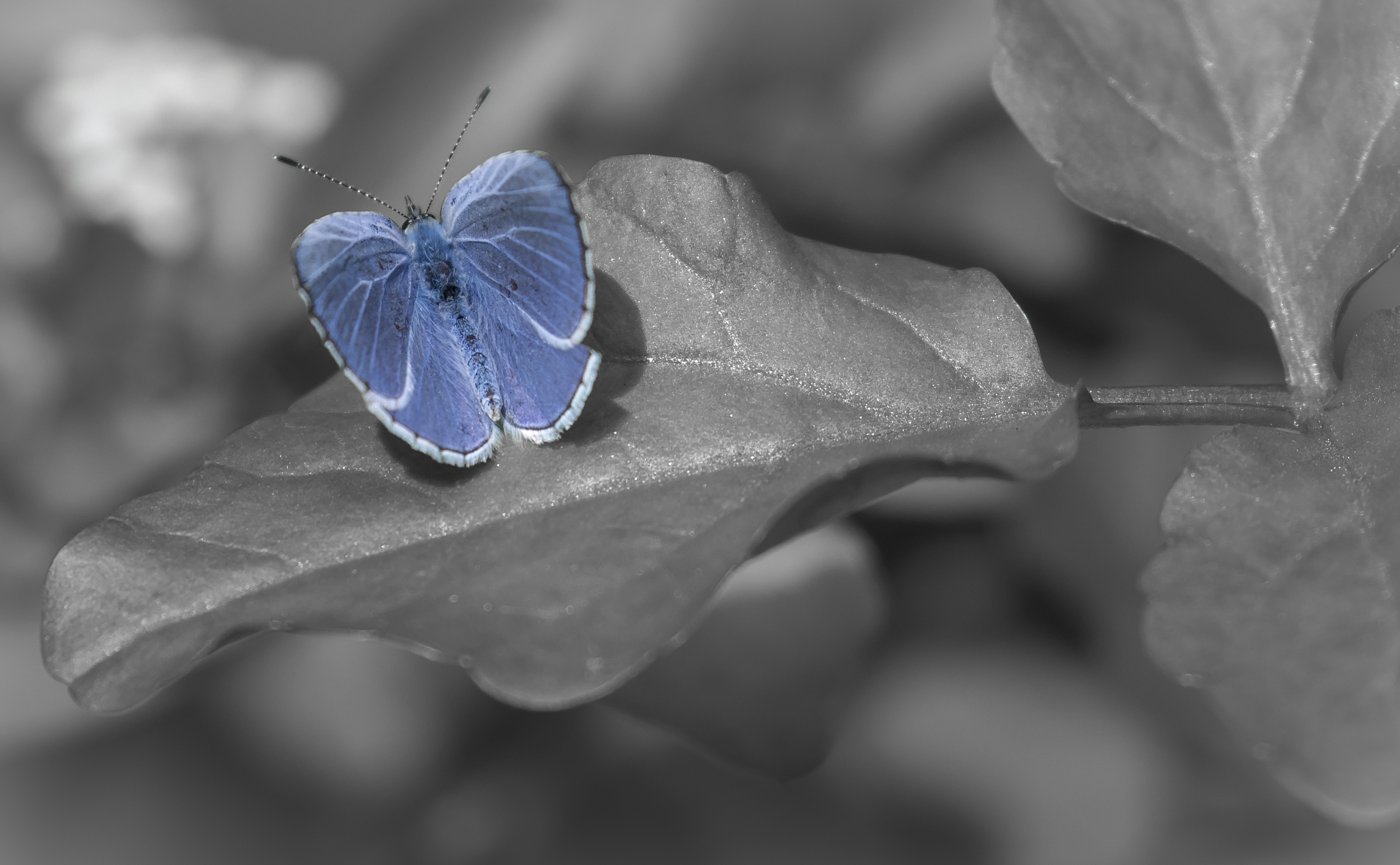 Holly Blue 30th July.png