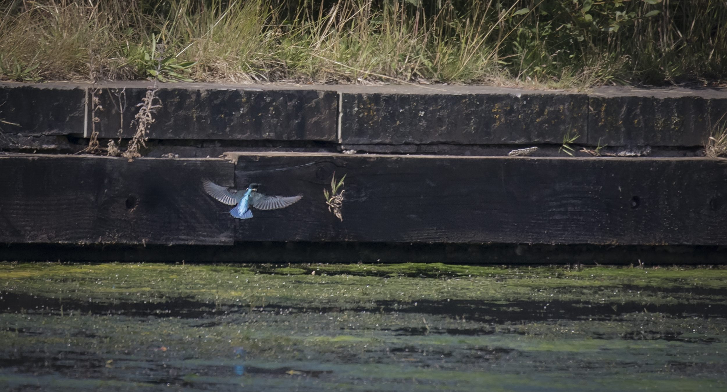 Kingfisher using Wall 31st July.png
