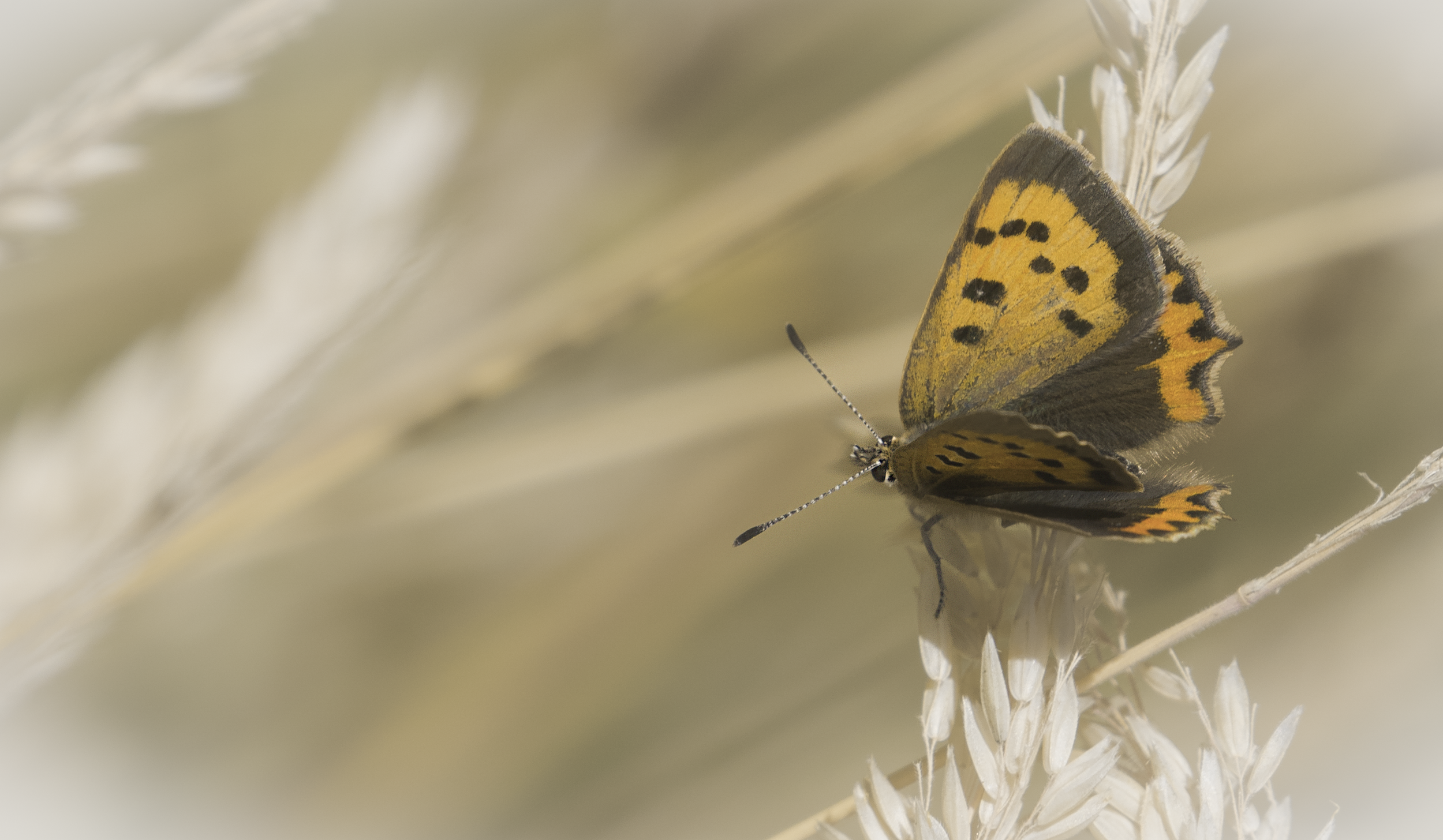 Small Copper Art 31st July.png