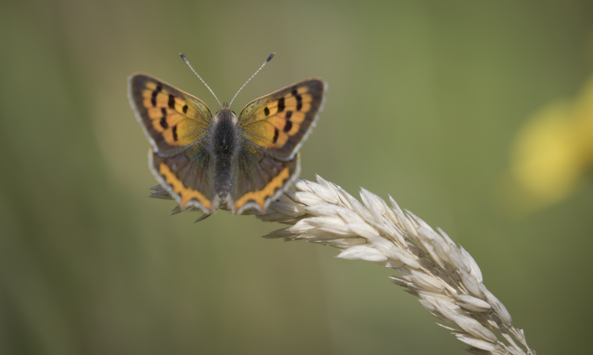 Small Copper Full 31st July.png