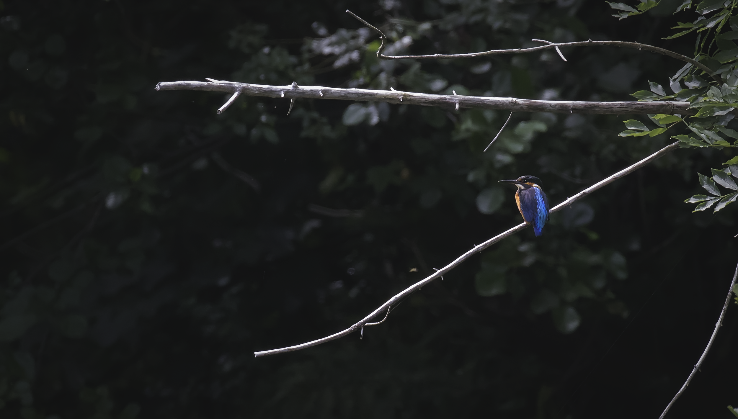 Kingfisher 2nd August.png
