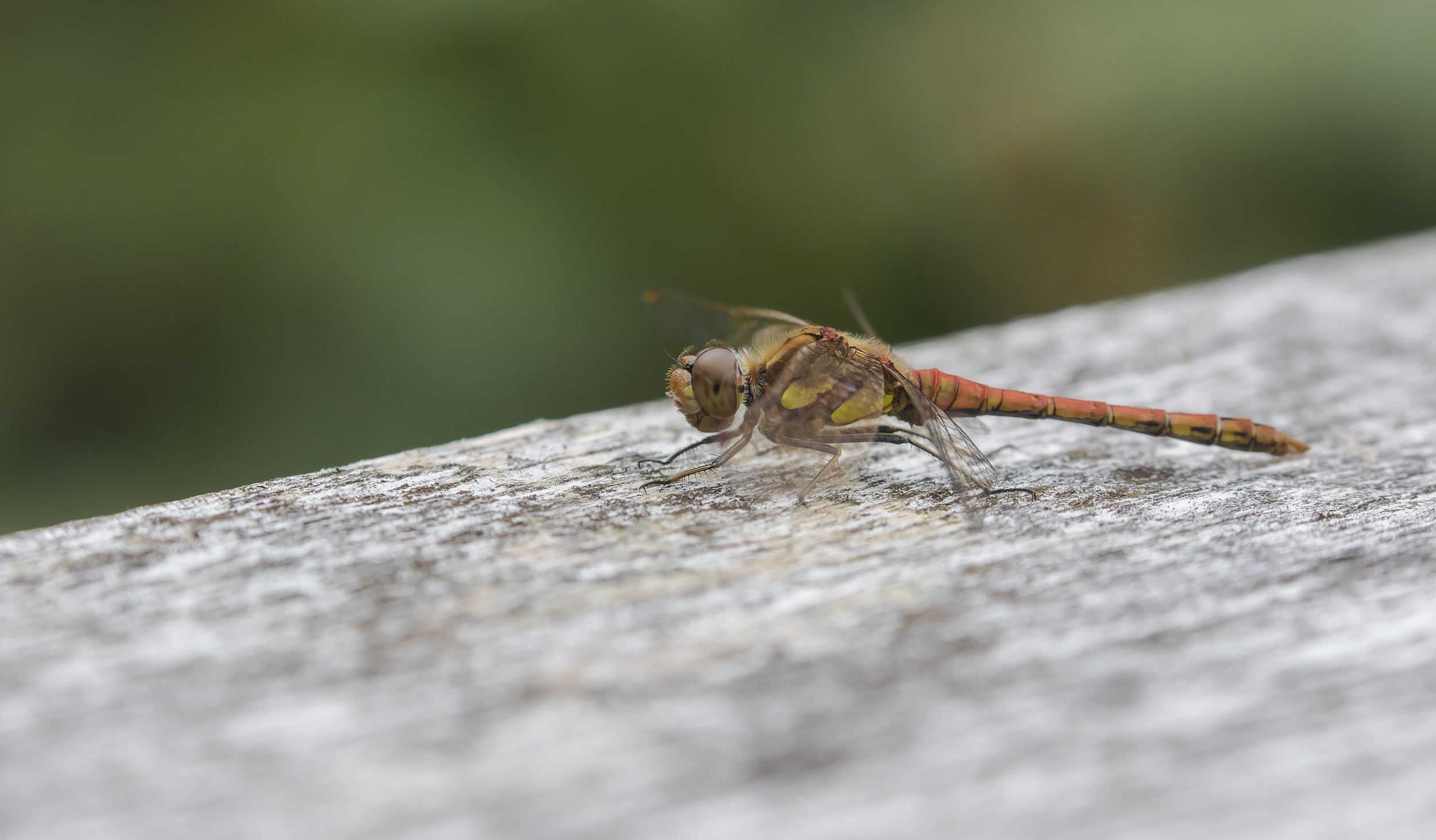 Common Darter 9th August.jpg