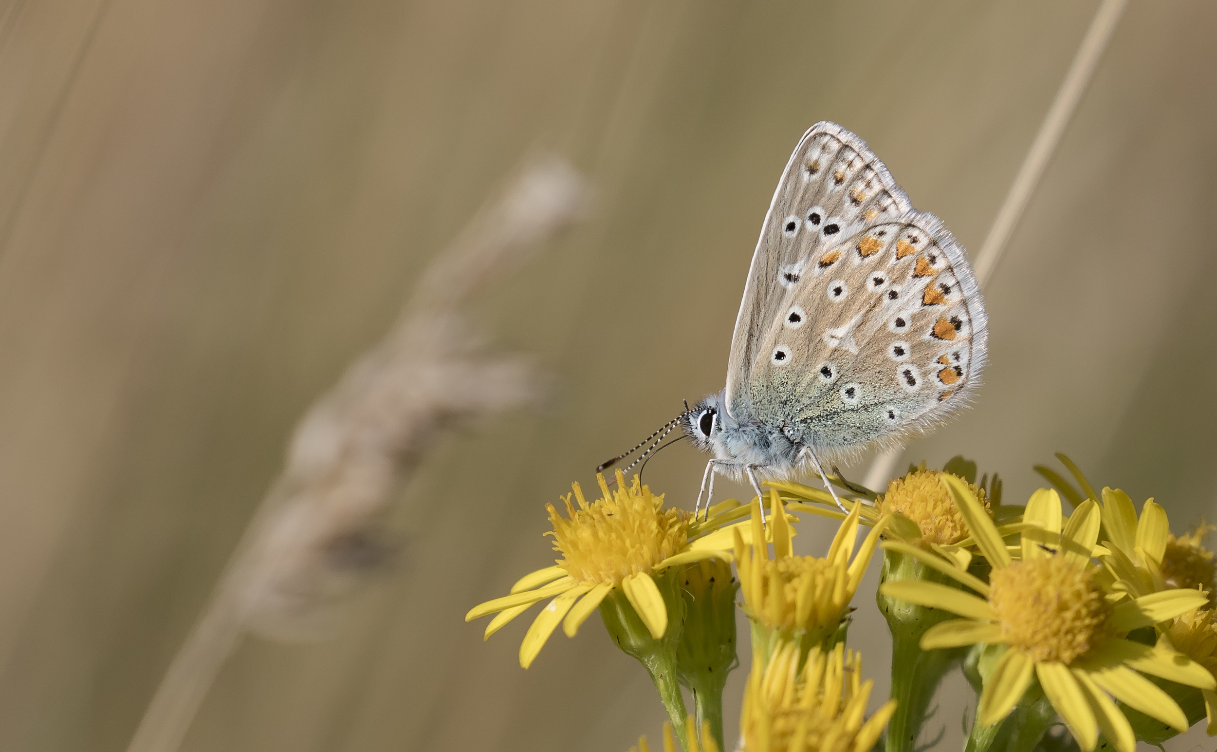 Common Blue 8th August.jpg