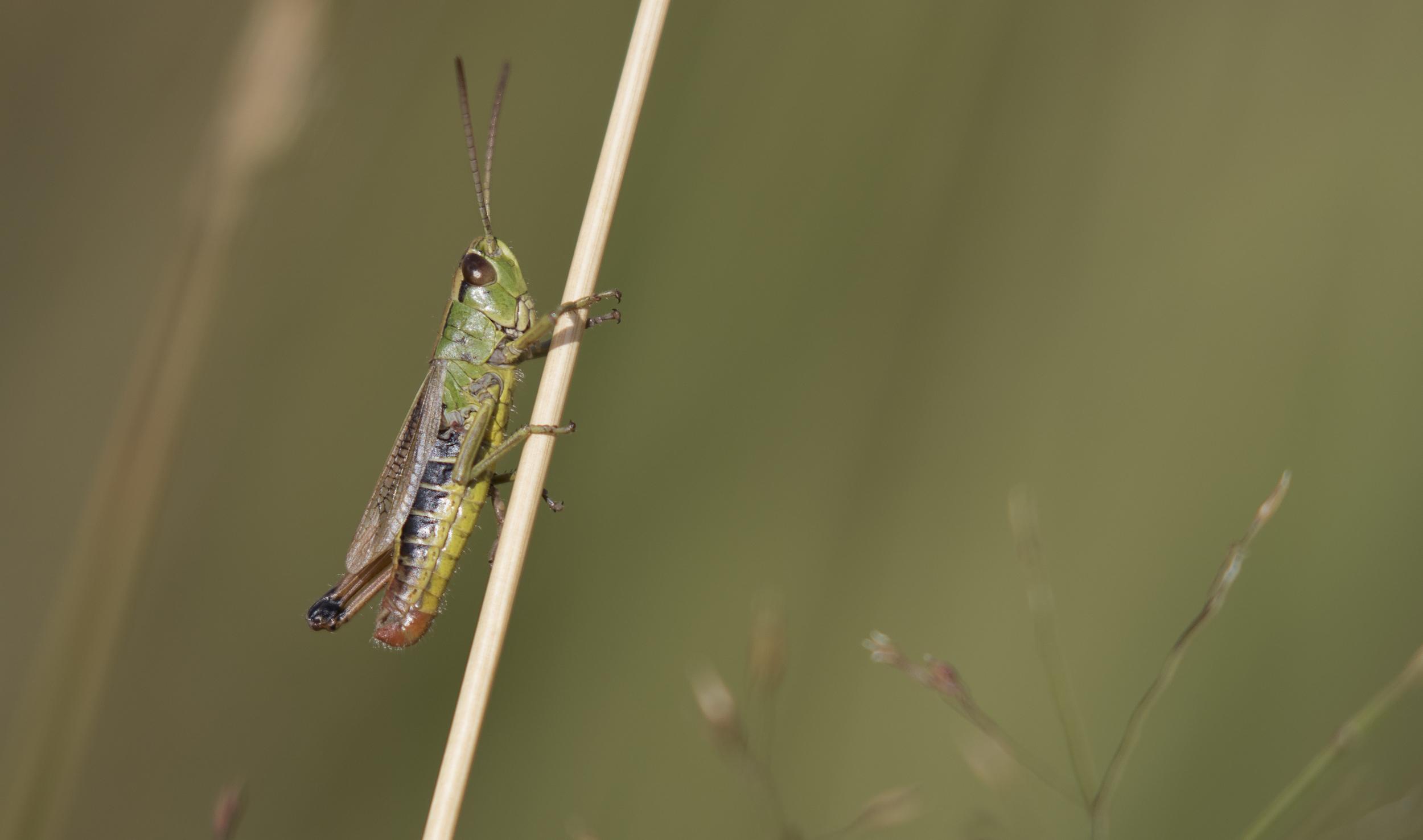 Grasshopper 8th August.jpg