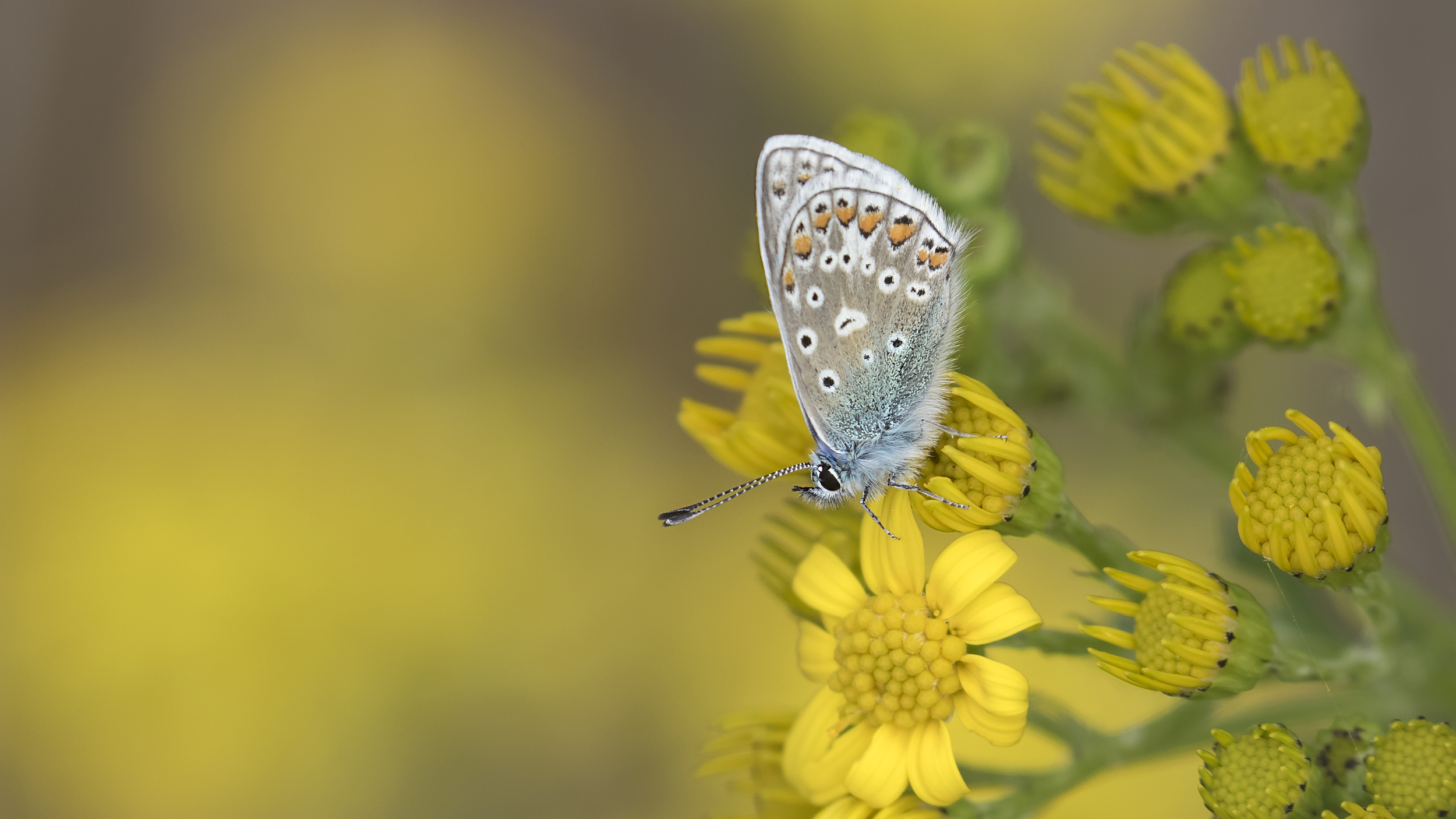 Common Blue 15th August.jpg