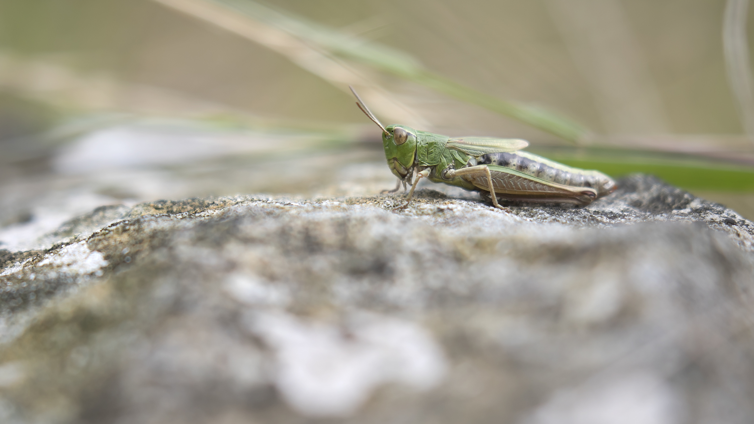 Meadow Grasshopper 15th August.jpg