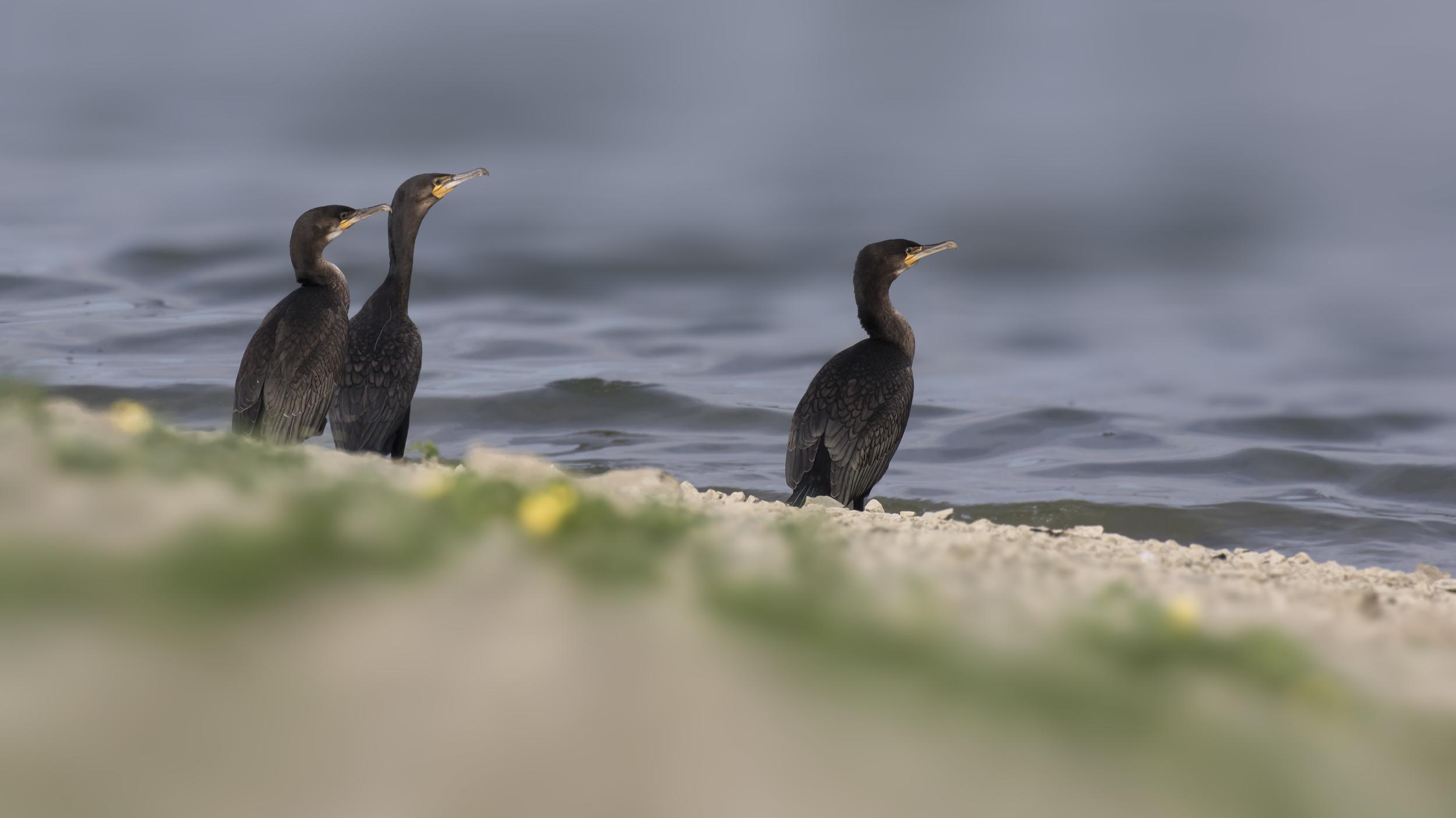 Cormorants 12th August.jpg