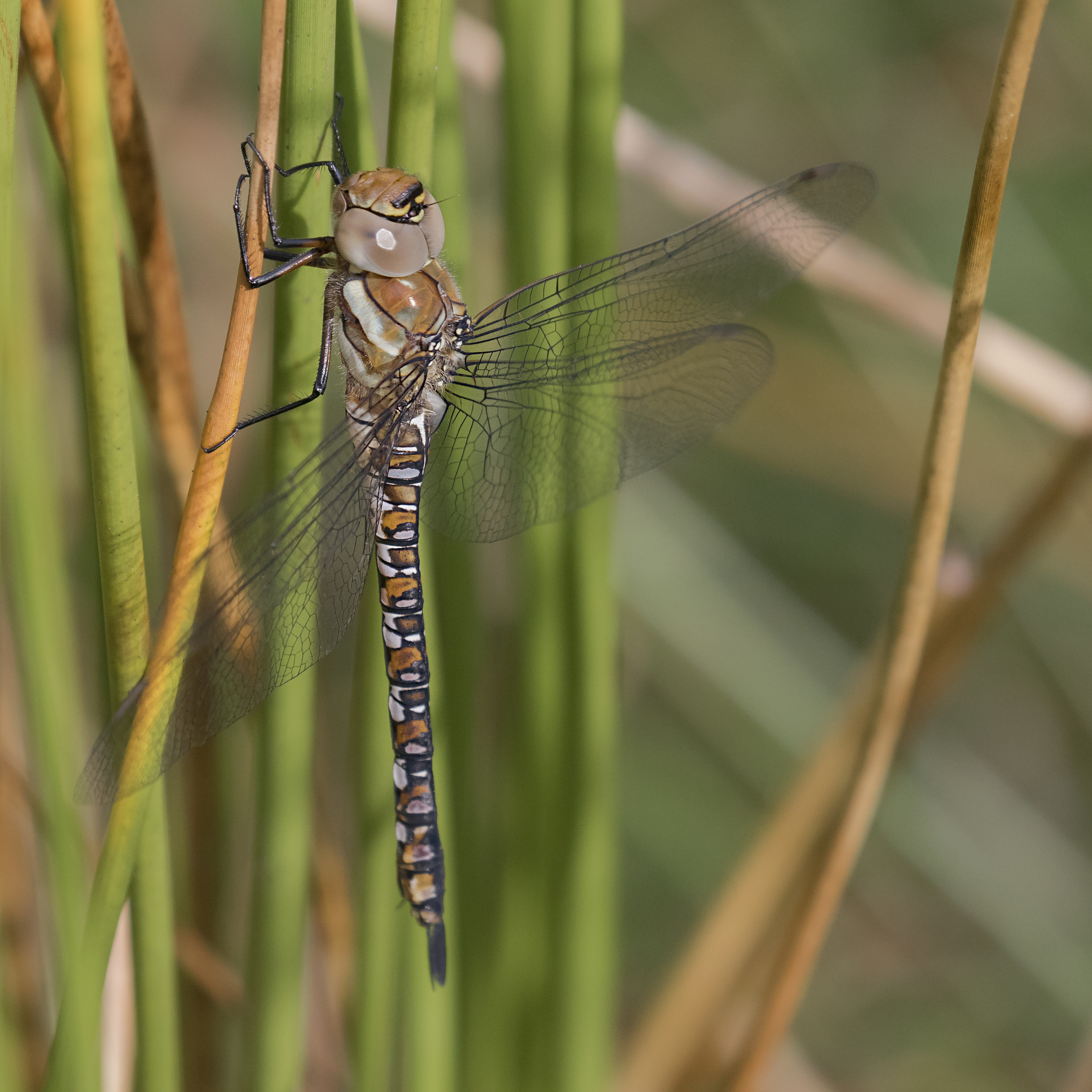 Migrant Hawker 15th August.jpg