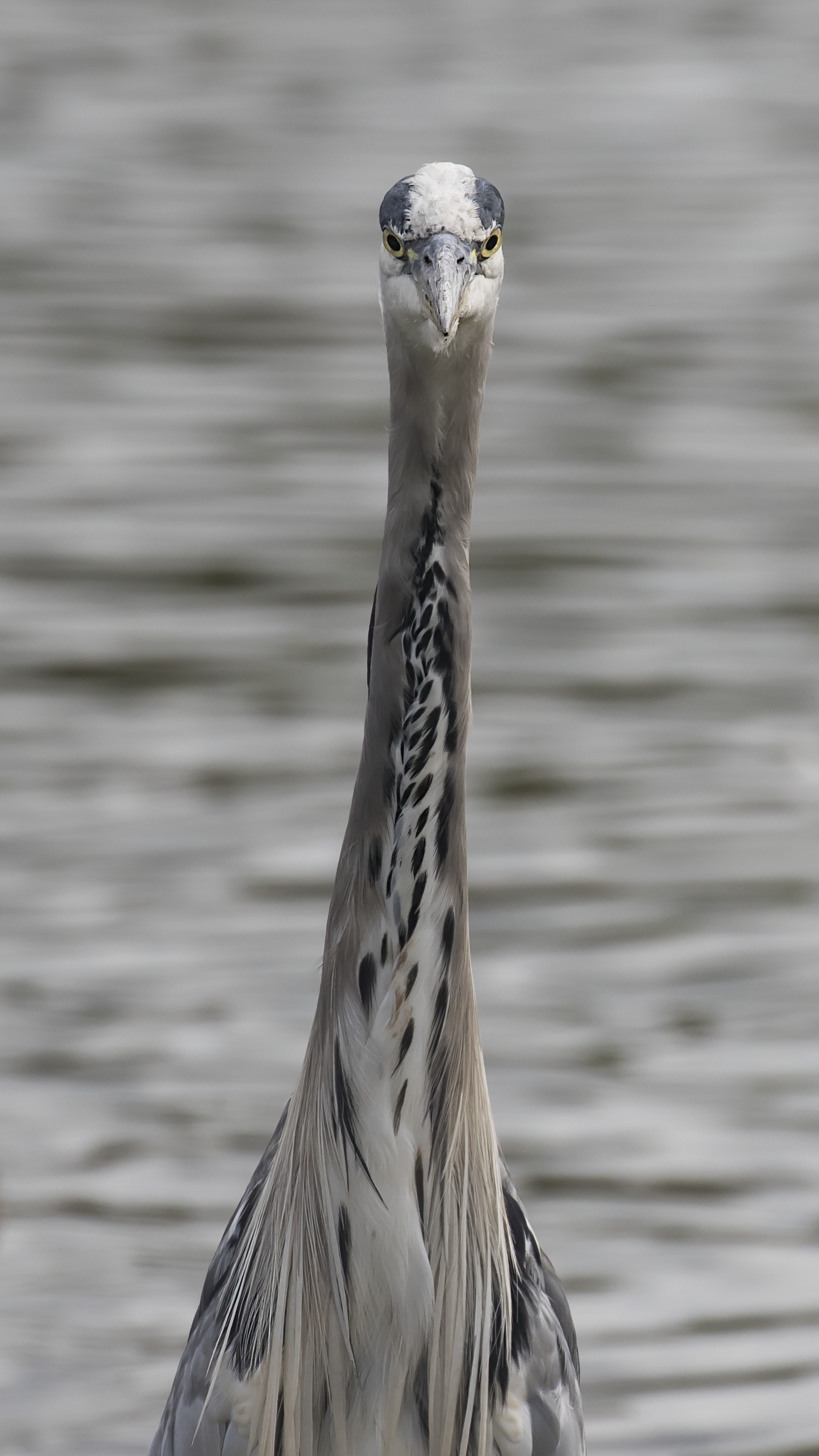 Heron Face-on 16th August.png