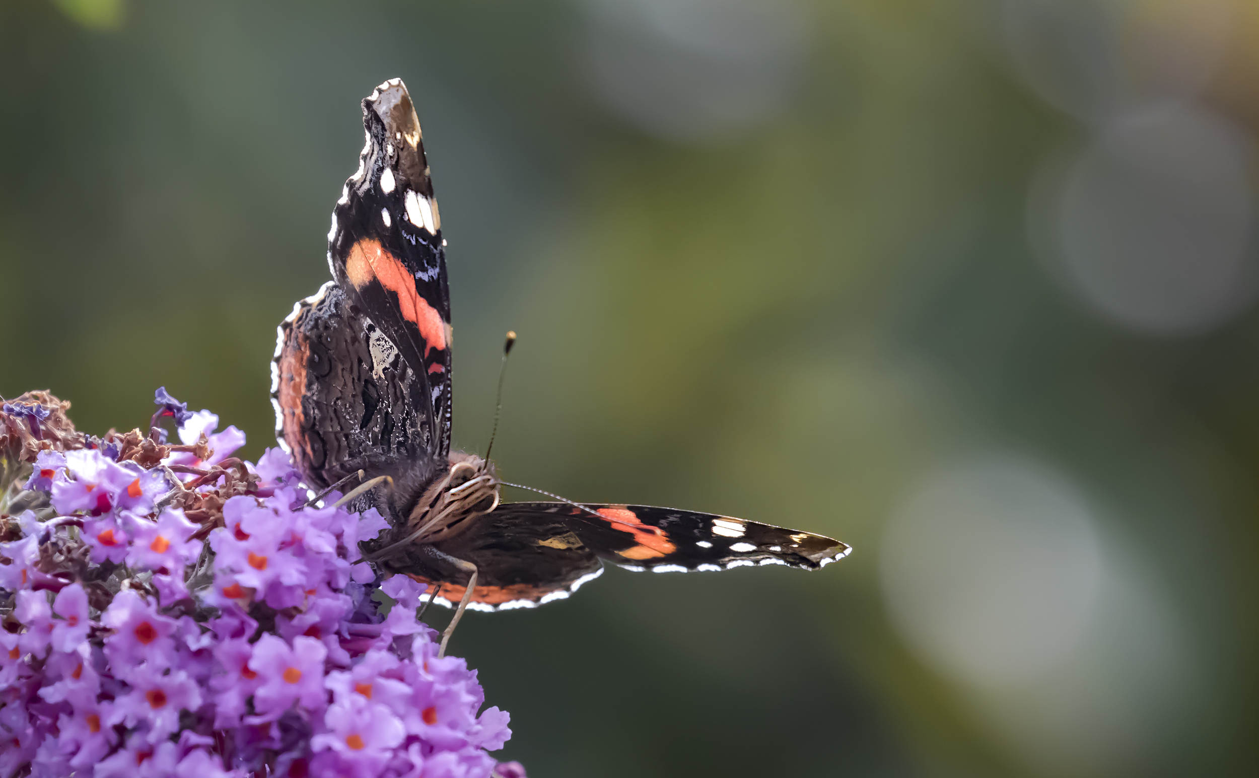 Red Admiral 16th August.jpg
