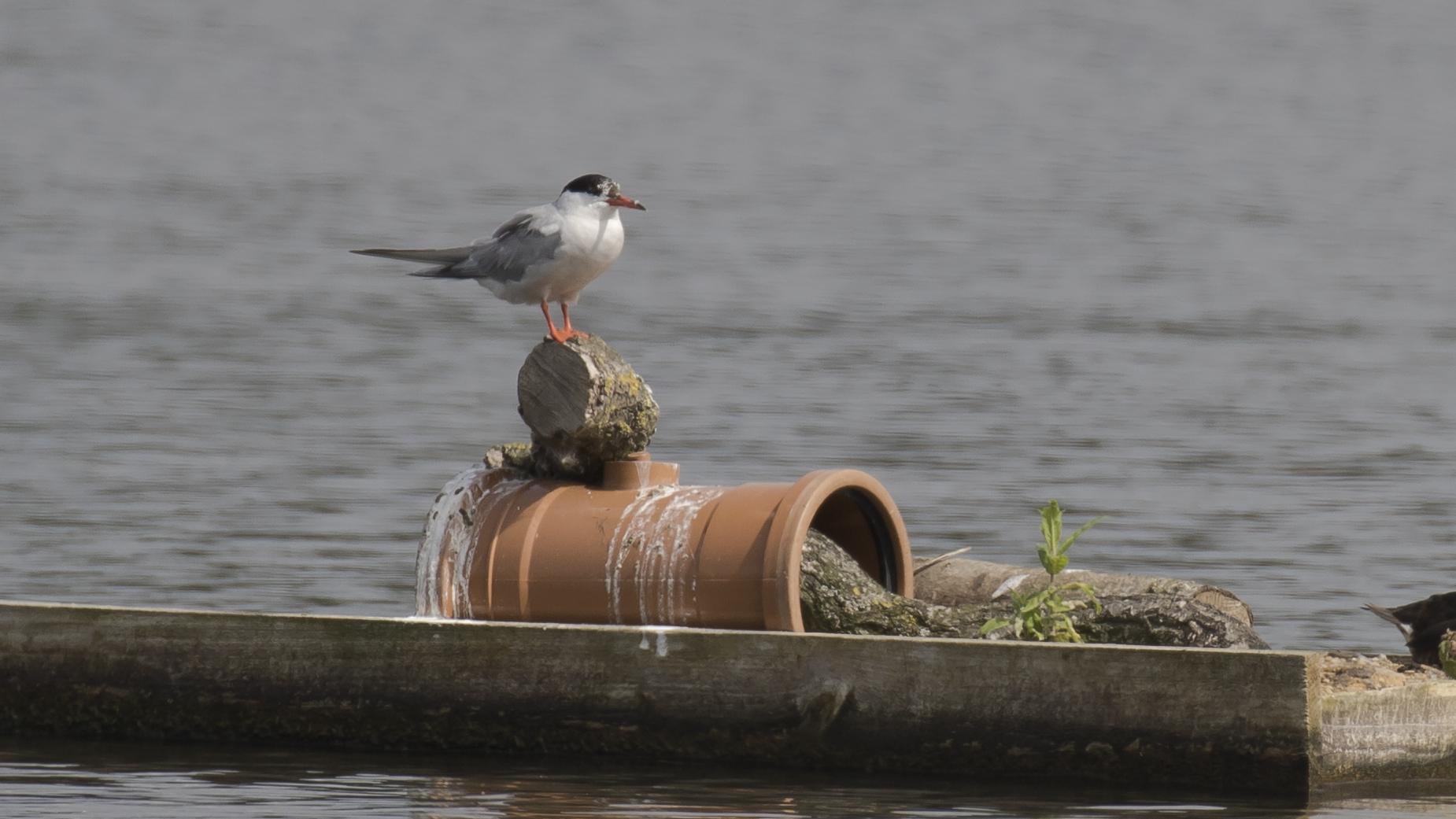 Common Tern 16th August.jpg