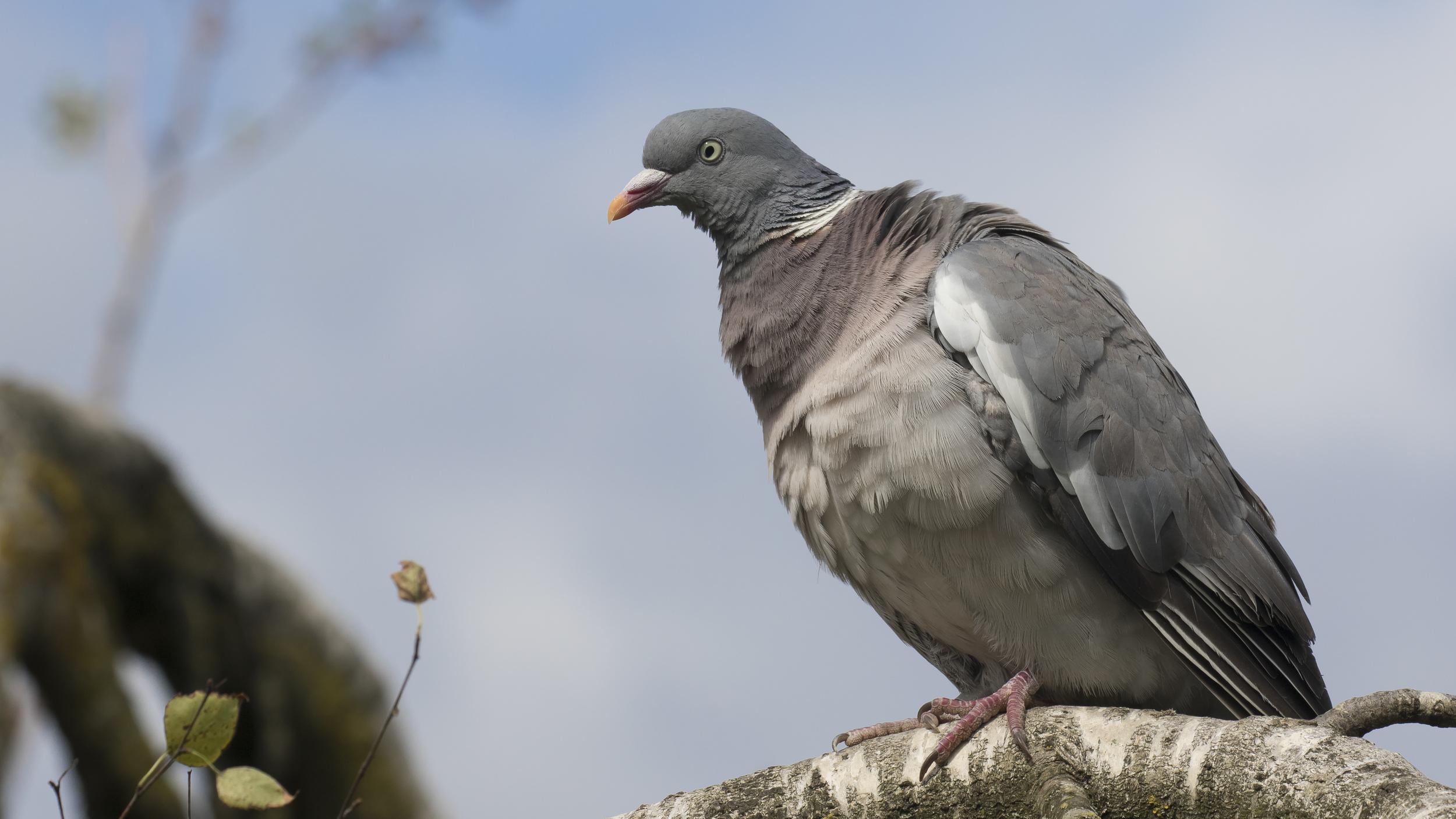 Wood Pigeon 16th August.jpg