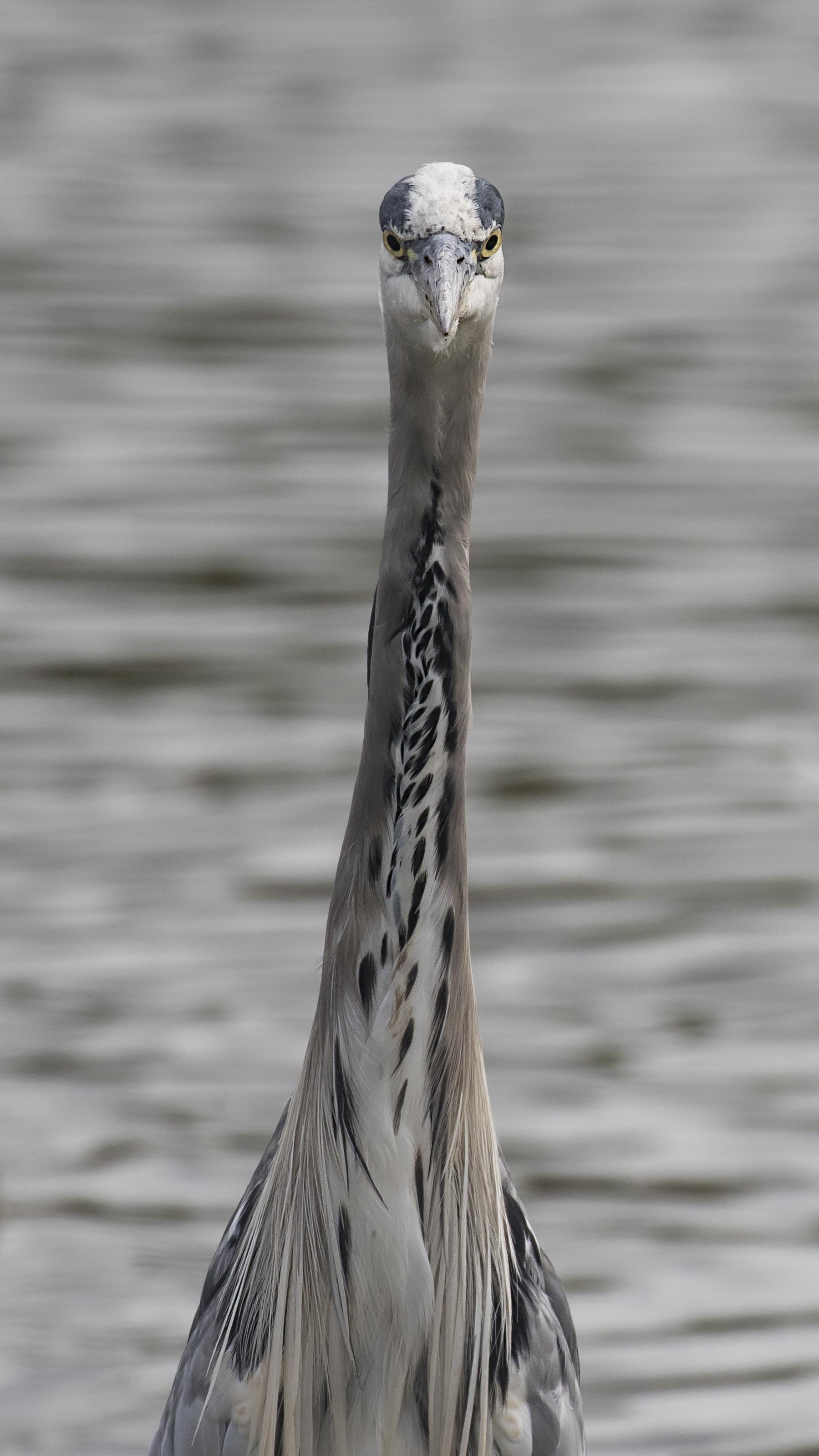 Grey Heron Frontal 16th August.jpg