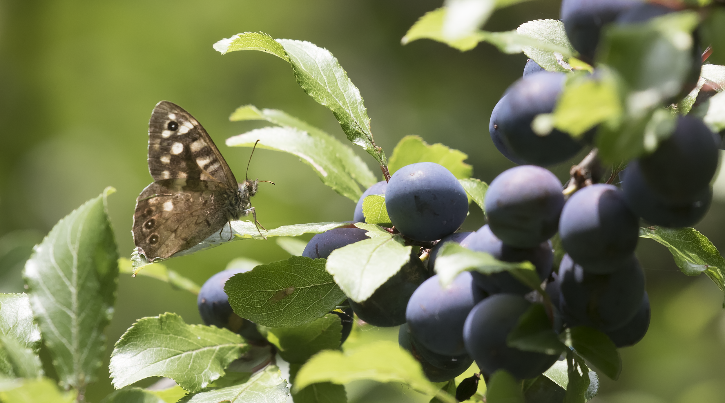 Speckled Wood 22nd August.png
