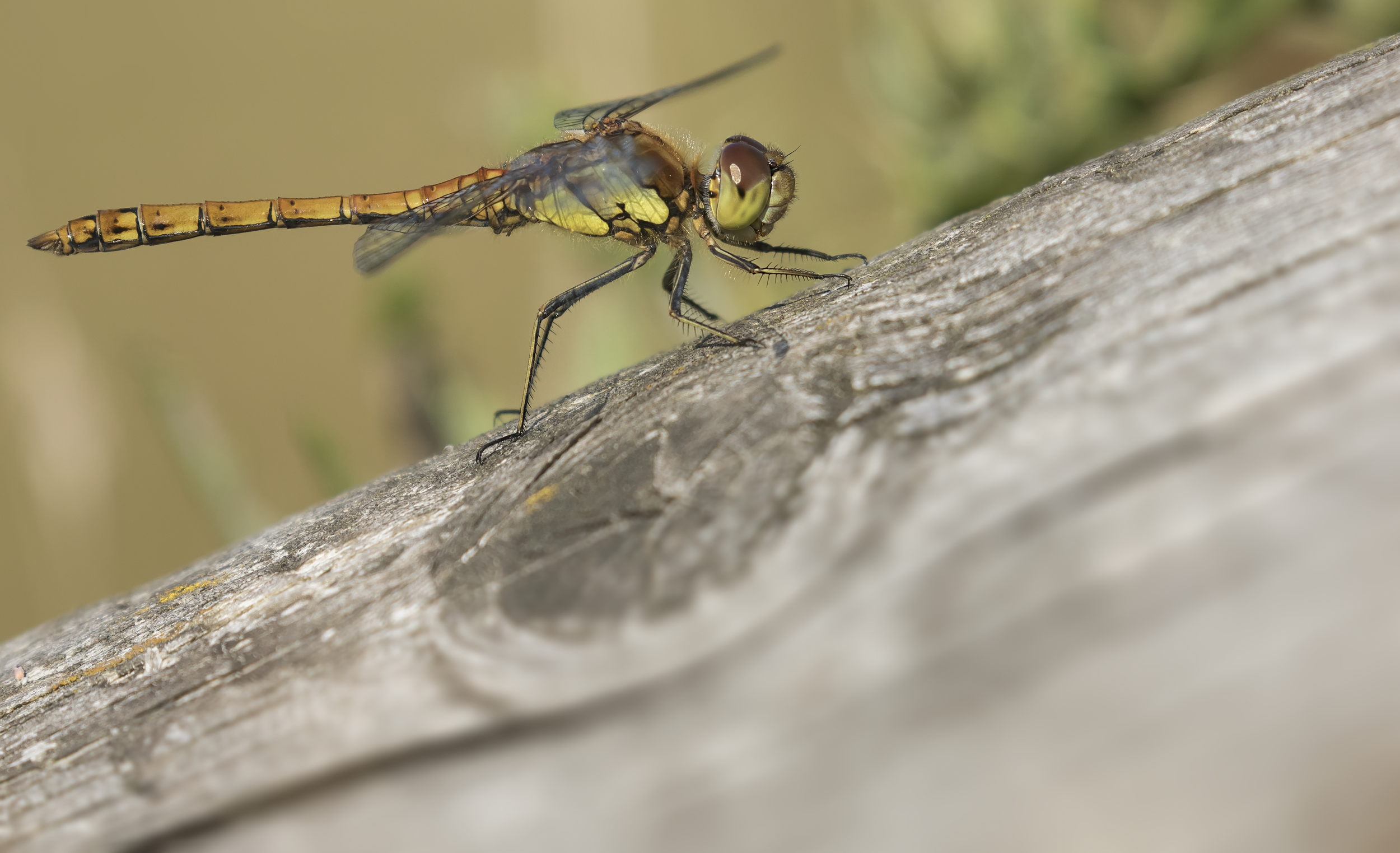 Common Darter 10th September.png